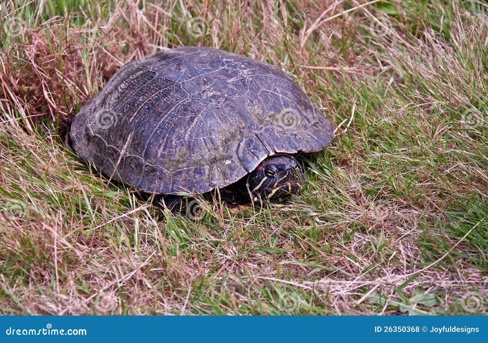 Gemalte Schildkröte, die Eier im Gras legt