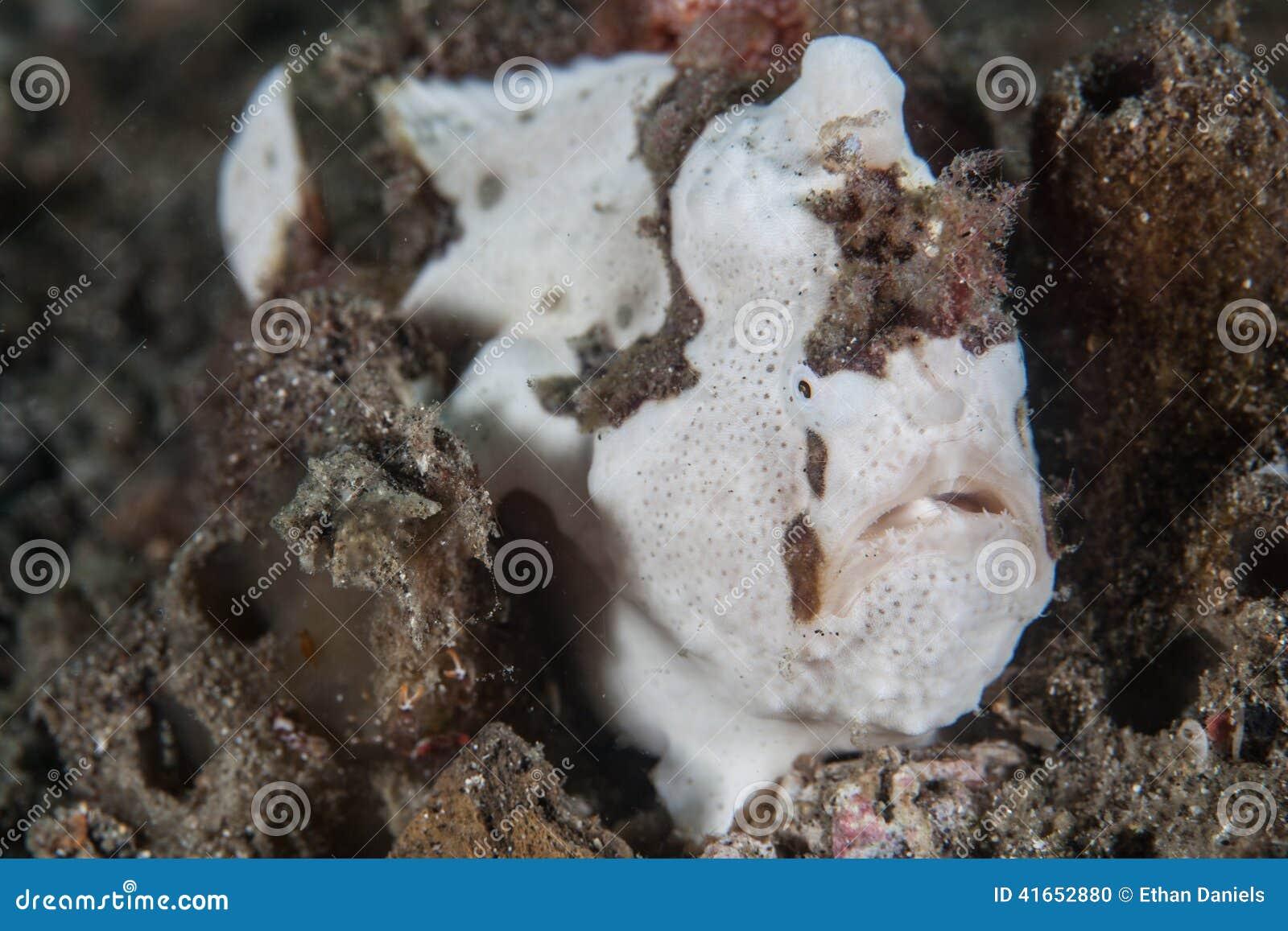 Gemalter Frogfish