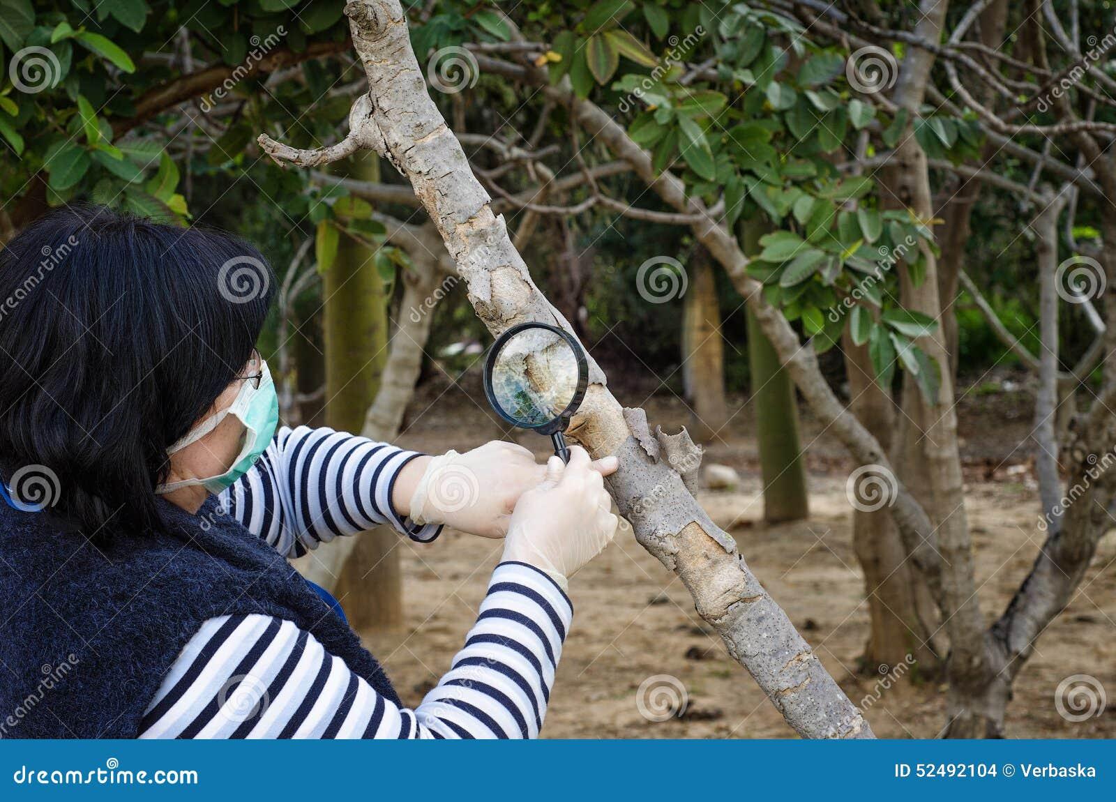 Gemaskeerde phytologist die boomstam van vijgeboom controleert
