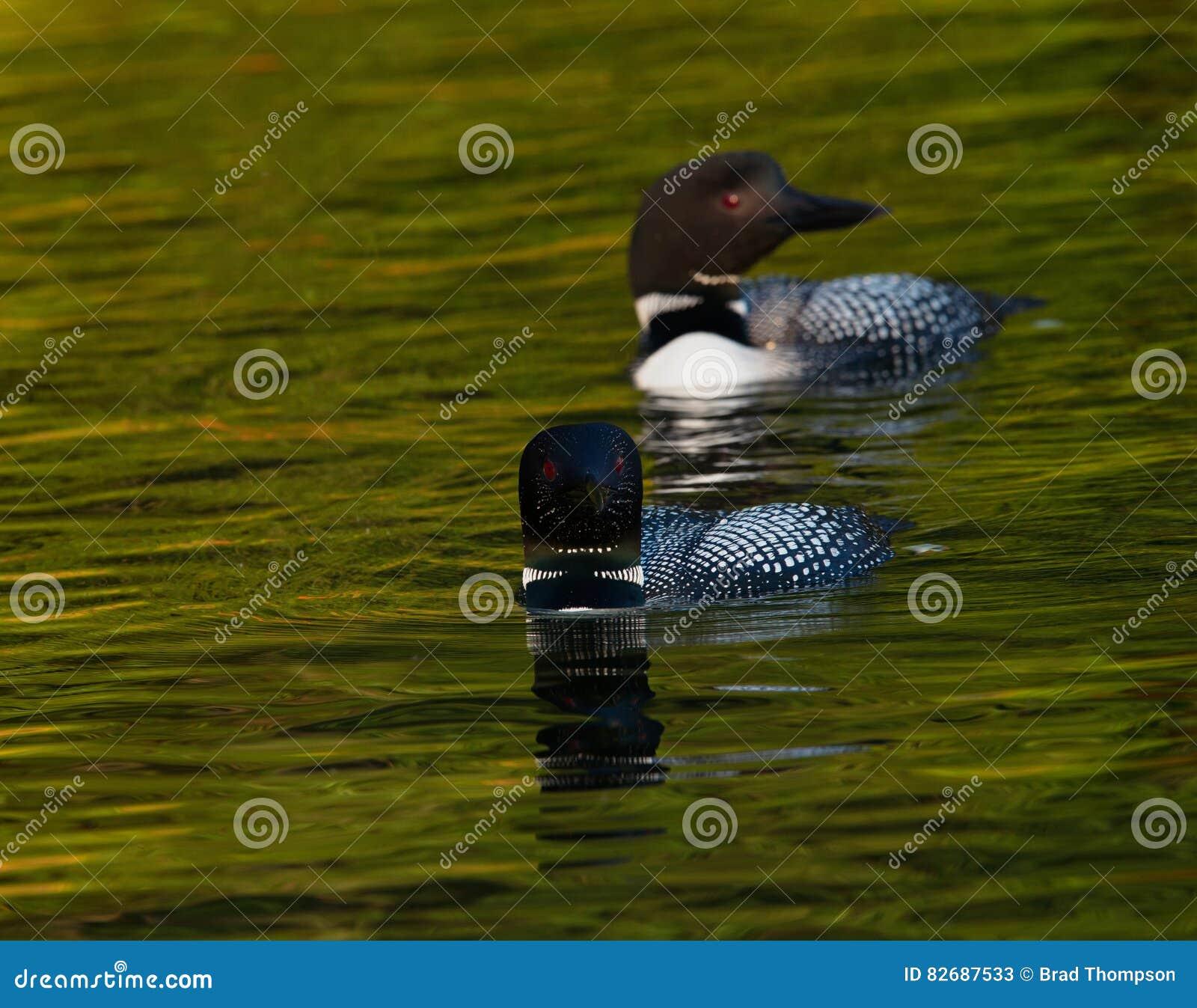 Gemeenschappelijk Duikerpaar die Gavia zwemmen immer