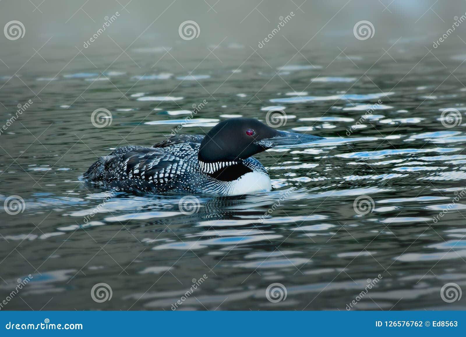 Gemeenschappelijke duiker of grote noordelijke duiker - gavia immer