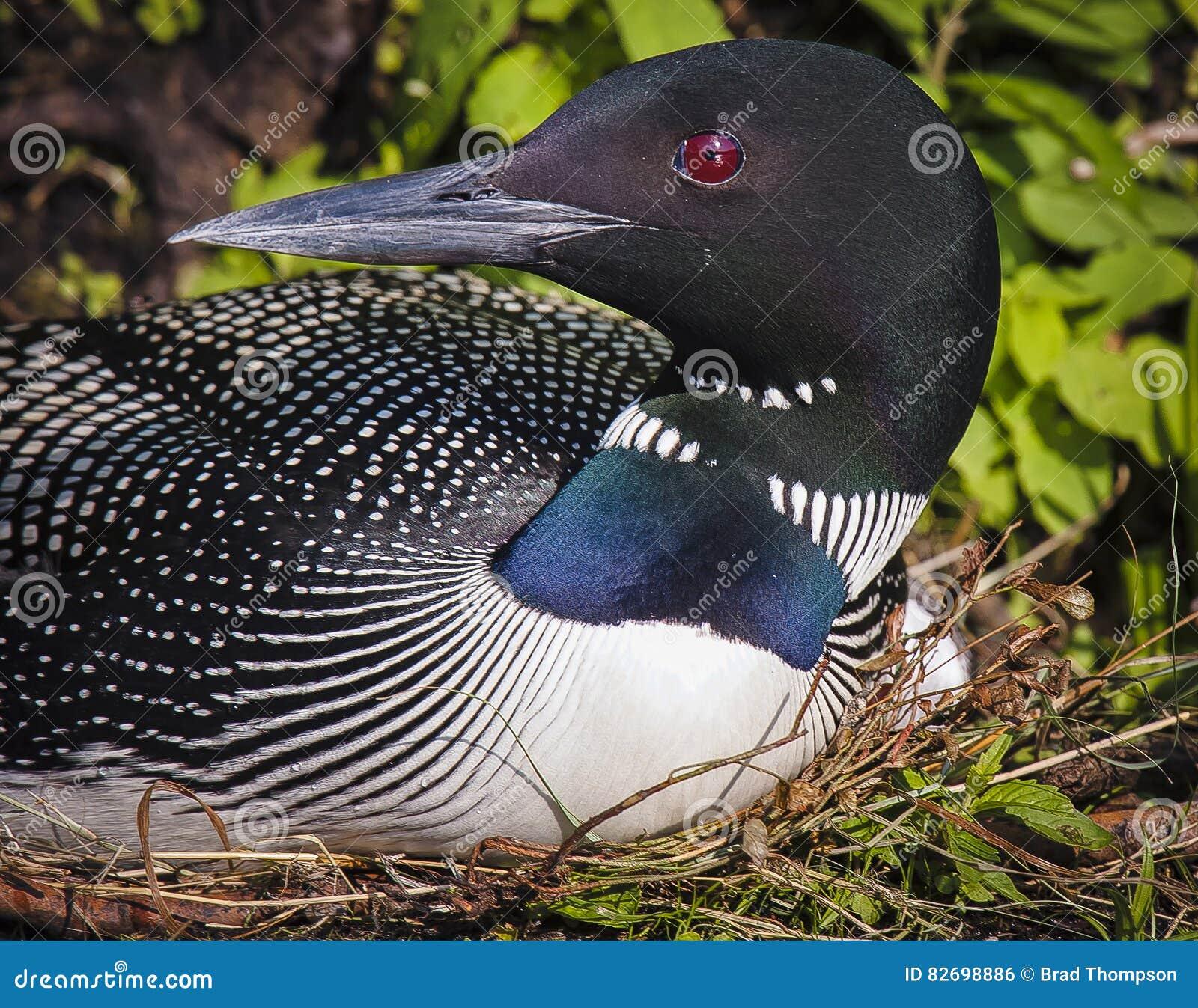 Gemeenschappelijke Duiker op nest Gavia immer