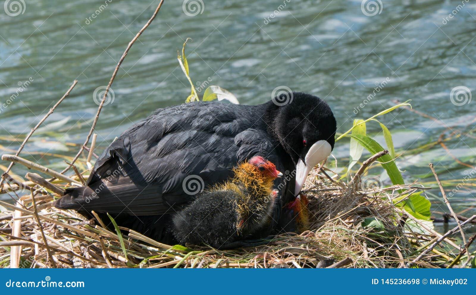 Gemeenschappelijke koet op nest