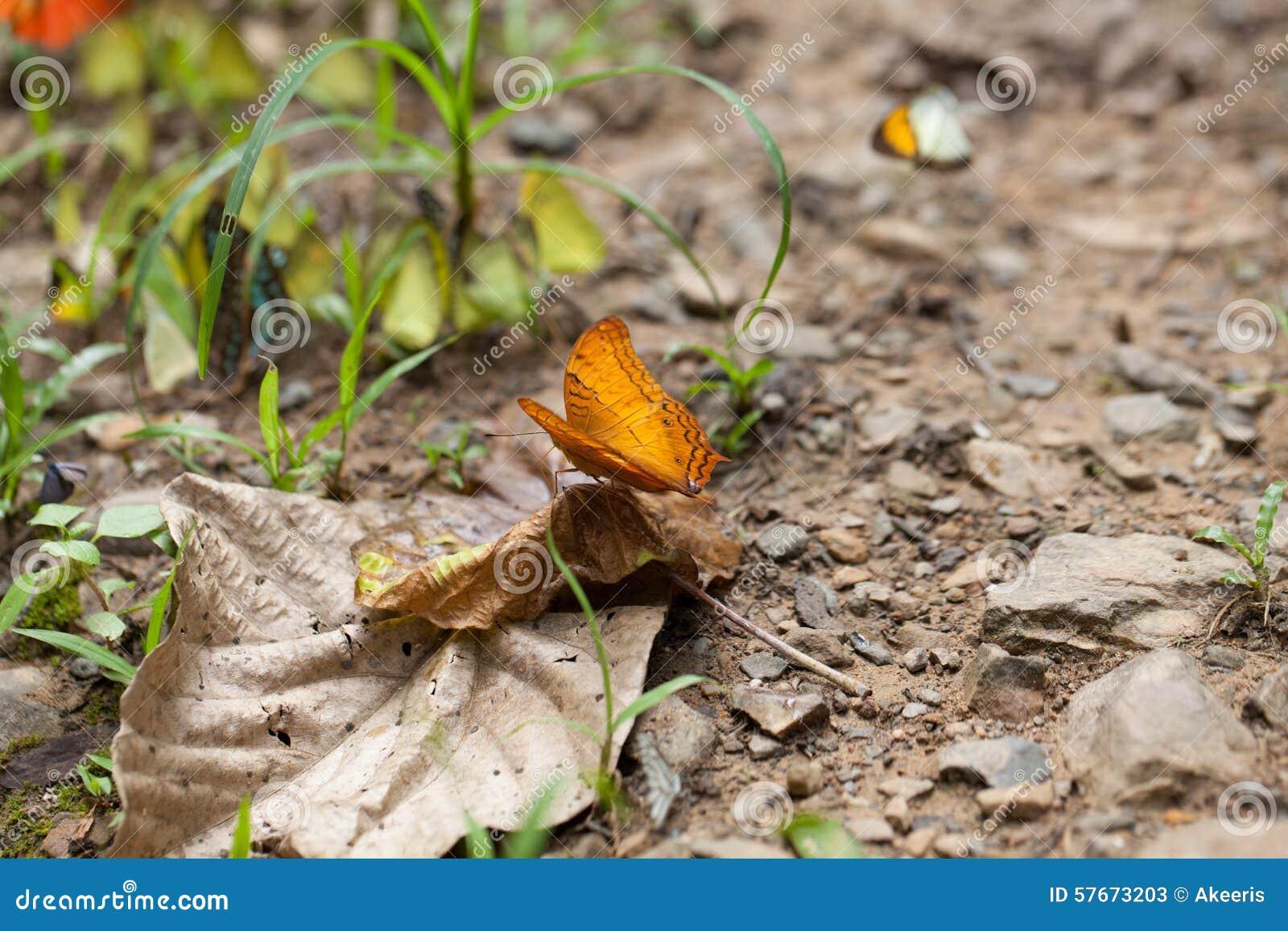 Gemeenschappelijke Kruiservlinder