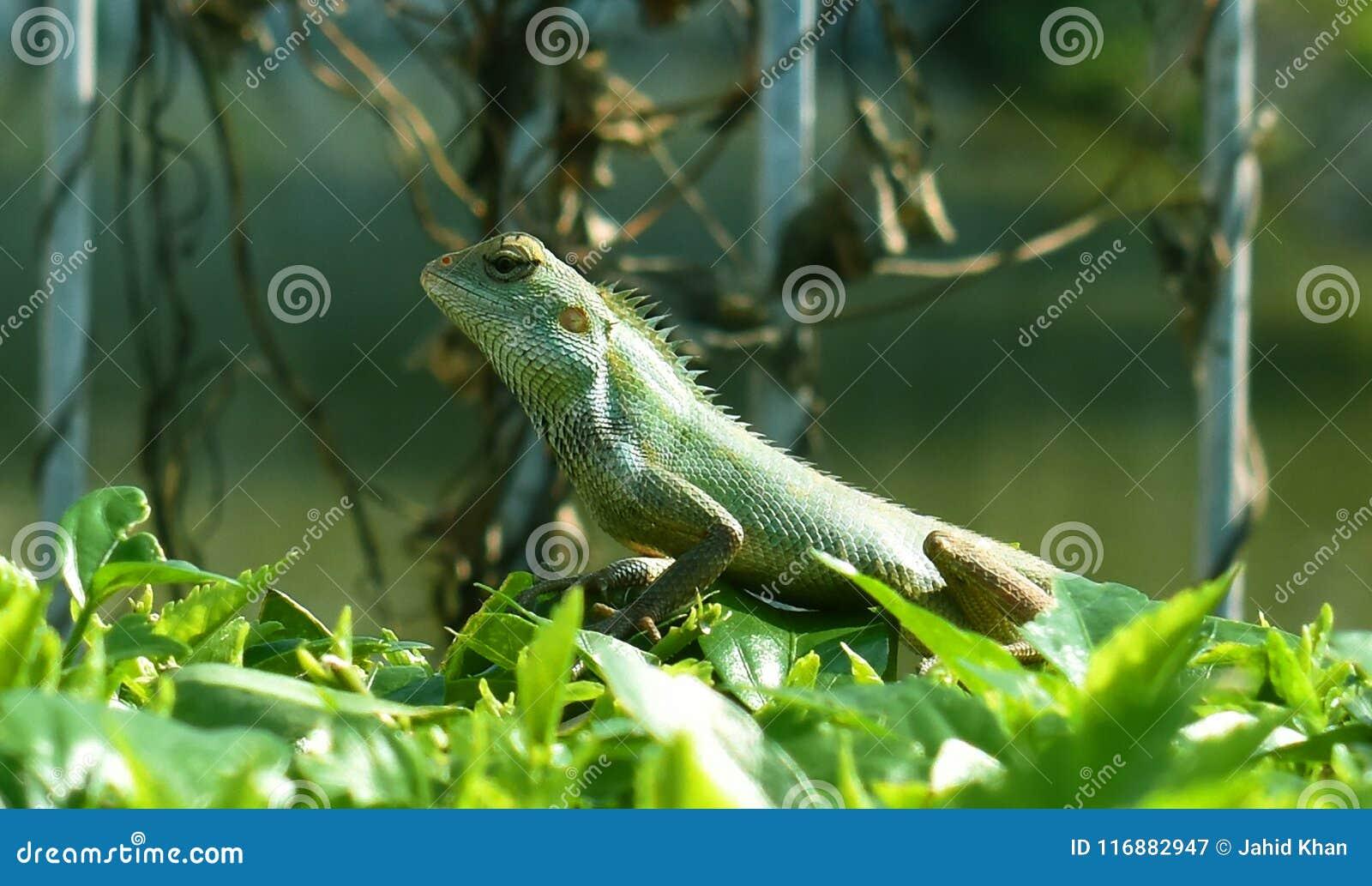 Gemeenschappelijke Leguanen
