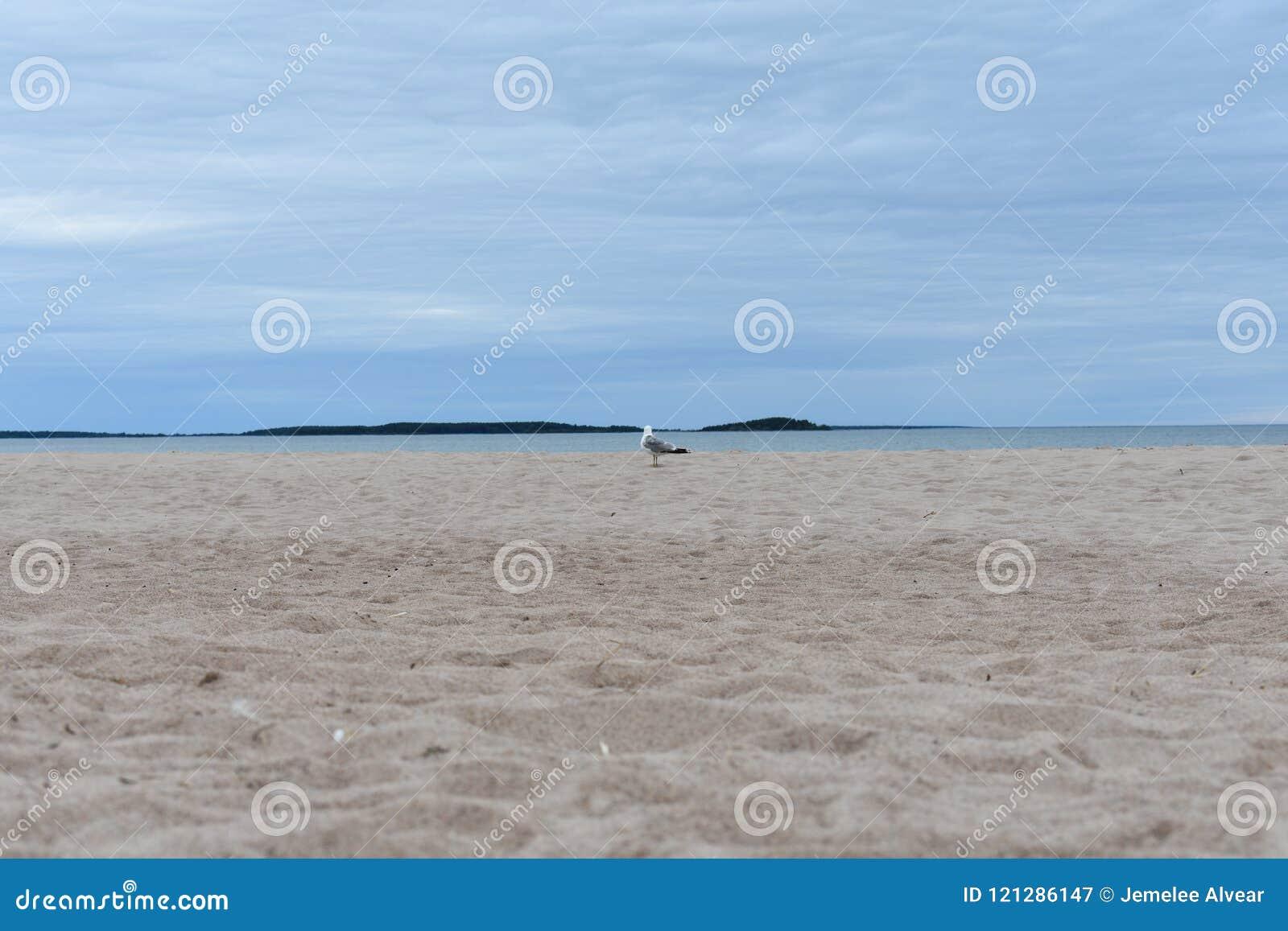 Gemeenschappelijke meeuw die verafgelegen van de kust van Yyteri-strand kijken