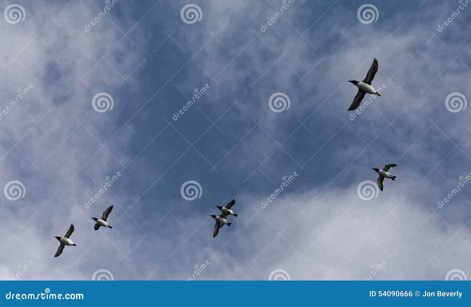 Gemeenschappelijke Murres tijdens de vlucht