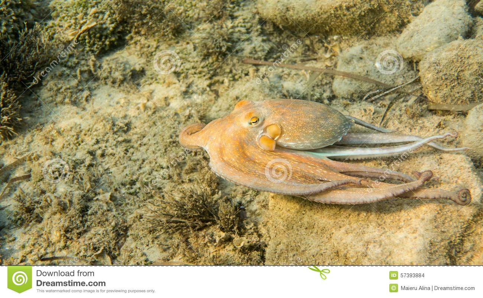 Gemeenschappelijke Octopus, Middellandse Zee