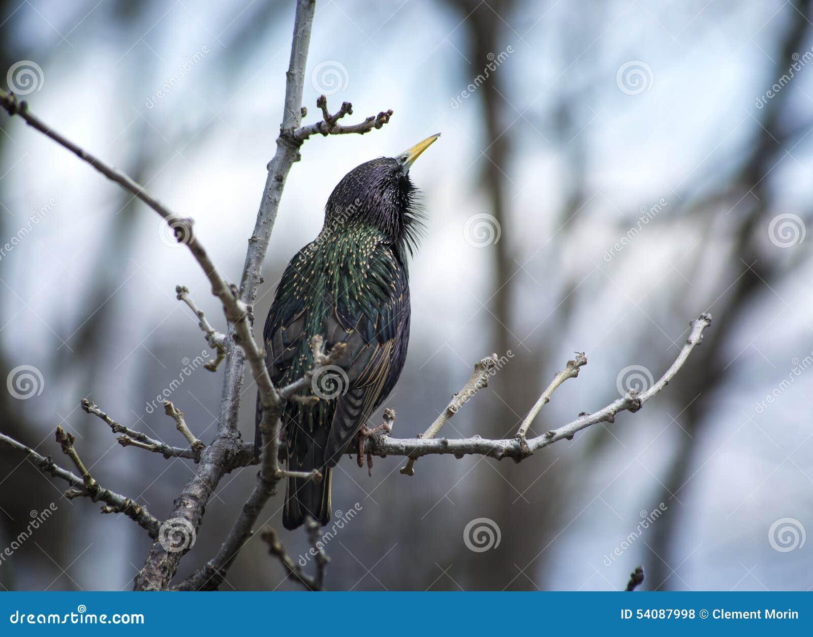 Gemeenschappelijke Starling