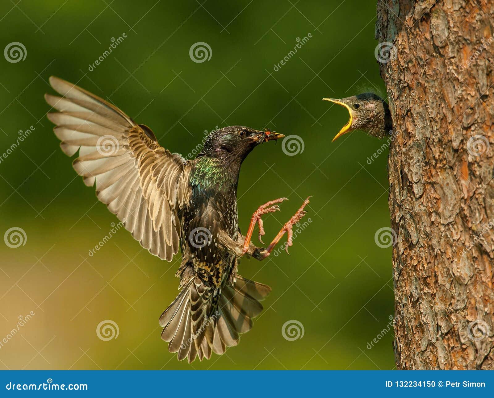 Gemeenschappelijke Starling, vulgaris Sturnus vliegt met één of ander insect om zijn kuiken te voeden