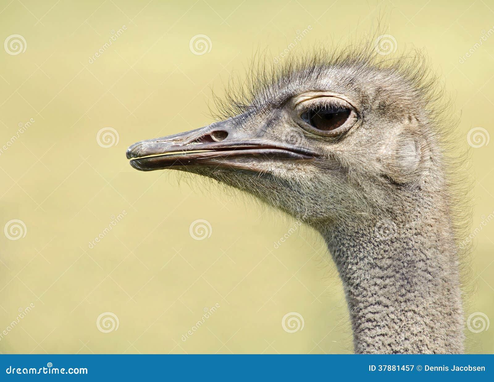 Gemeenschappelijke Struisvogel (Struthio-camelus)