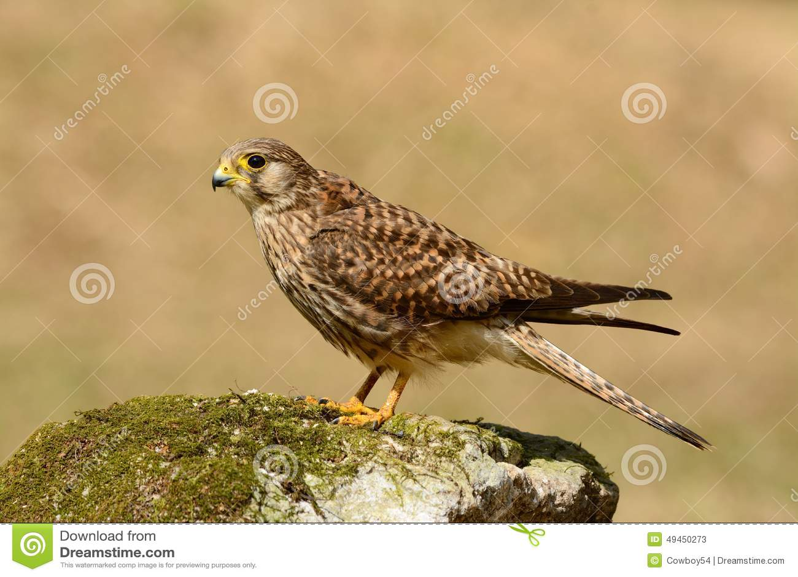 Gemeenschappelijke Torenvalk (Falco tinnunculus)