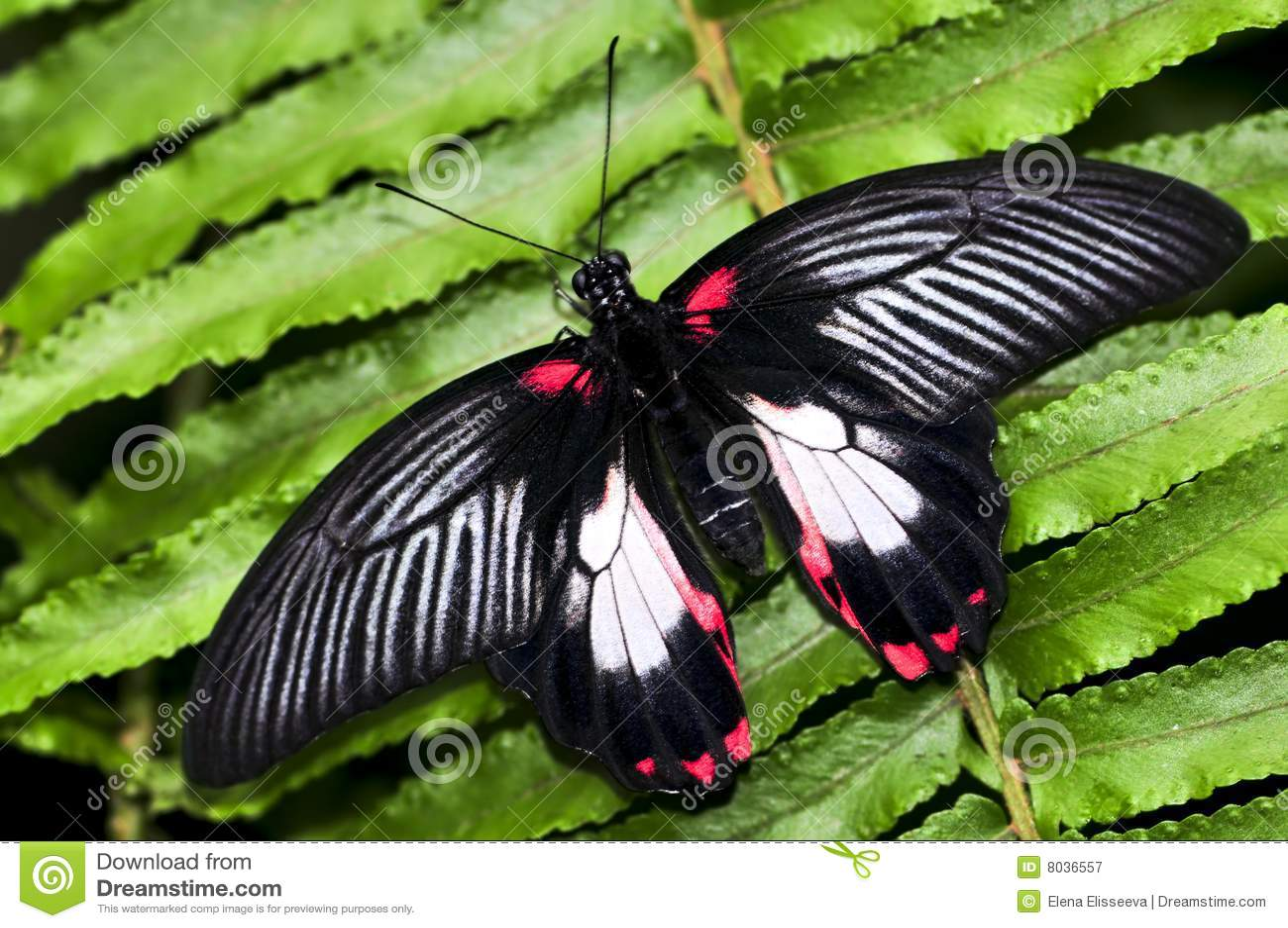 Gemeine swallowtail Basisrecheneinheit