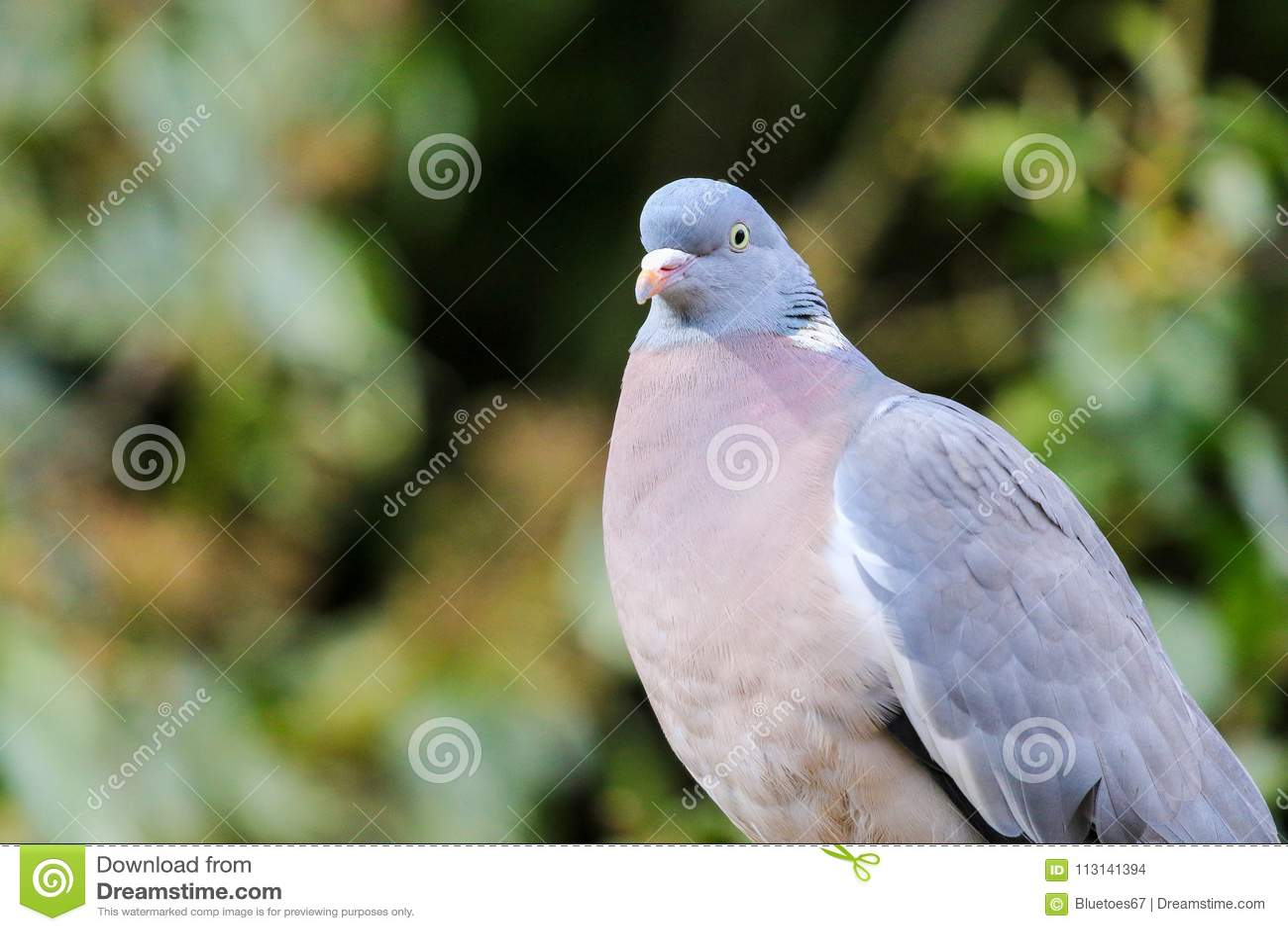 Gemeine Taube gesessen auf einem Zaun