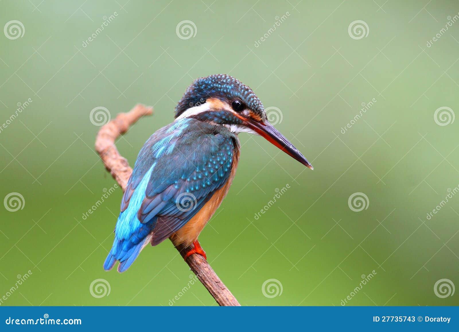Gemeiner Eisvogel