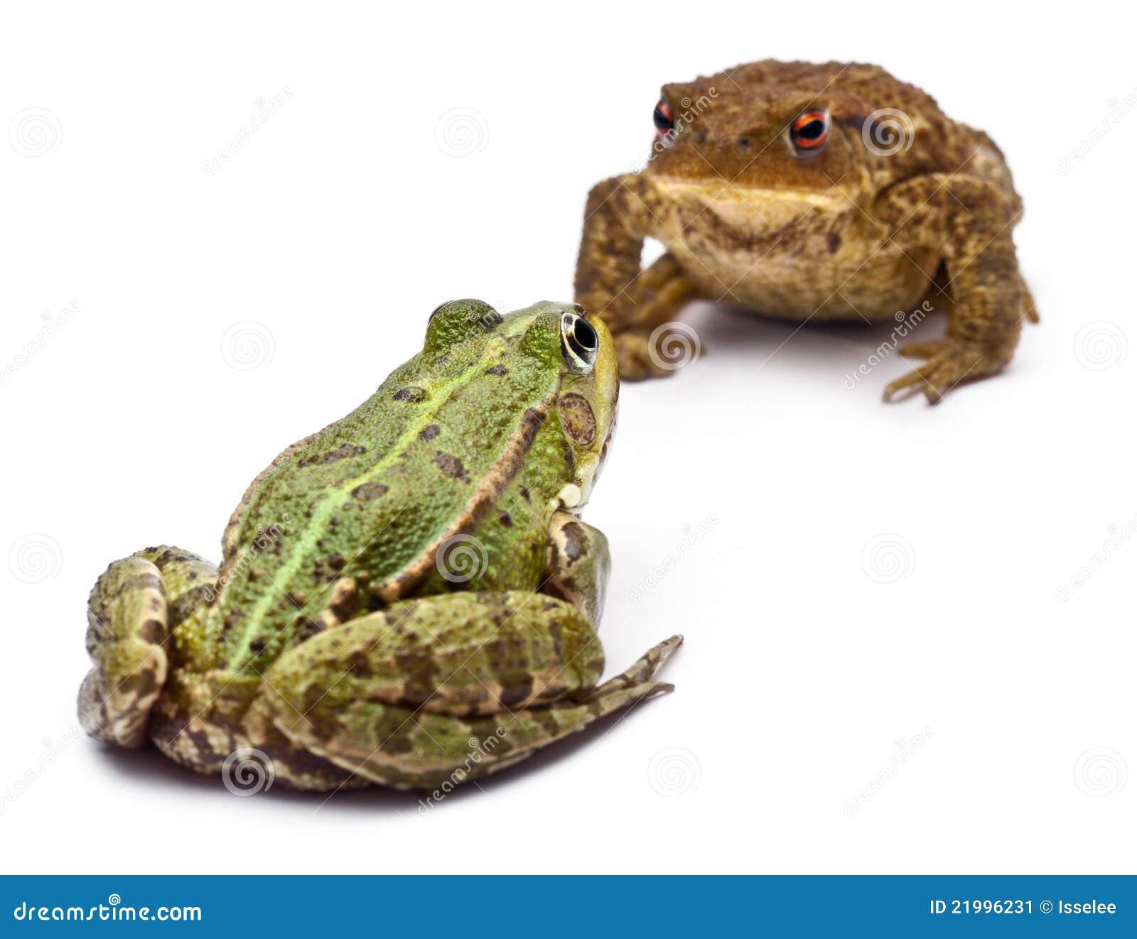 gemeiner europ ischer frosch oder essbarer frosch stockbild bild 21996231. Black Bedroom Furniture Sets. Home Design Ideas