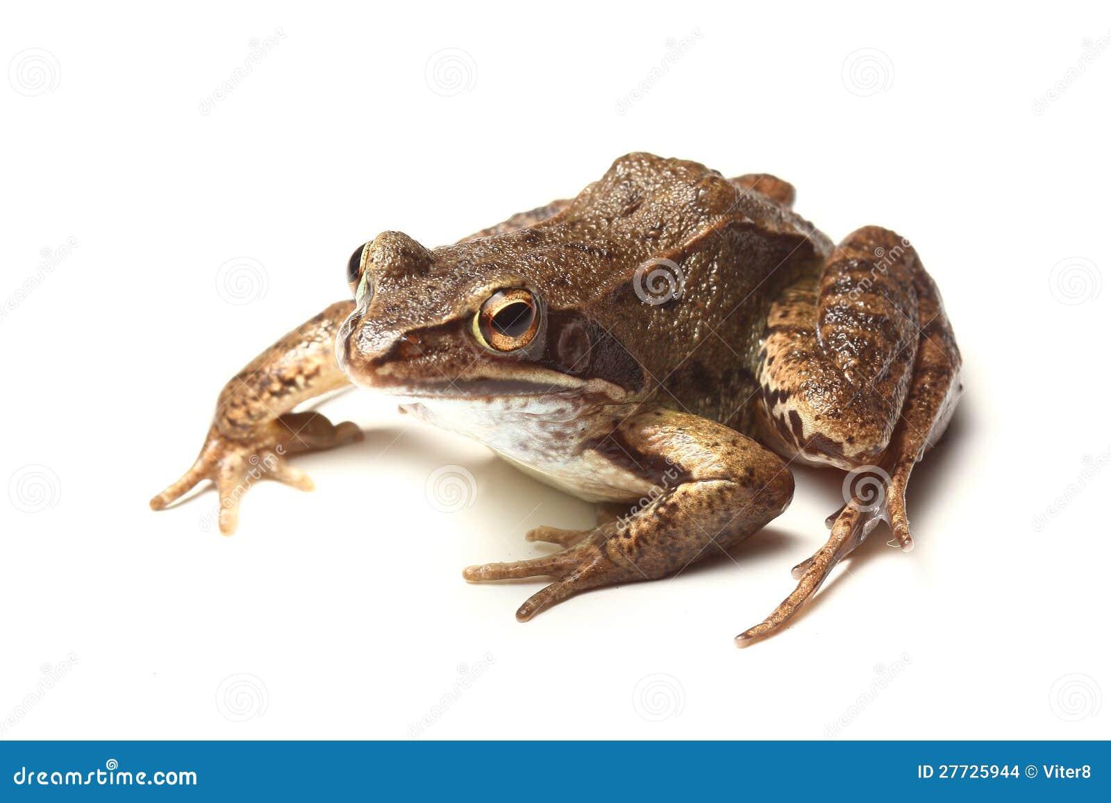 Gemeiner Frosch (Rana temporaria)