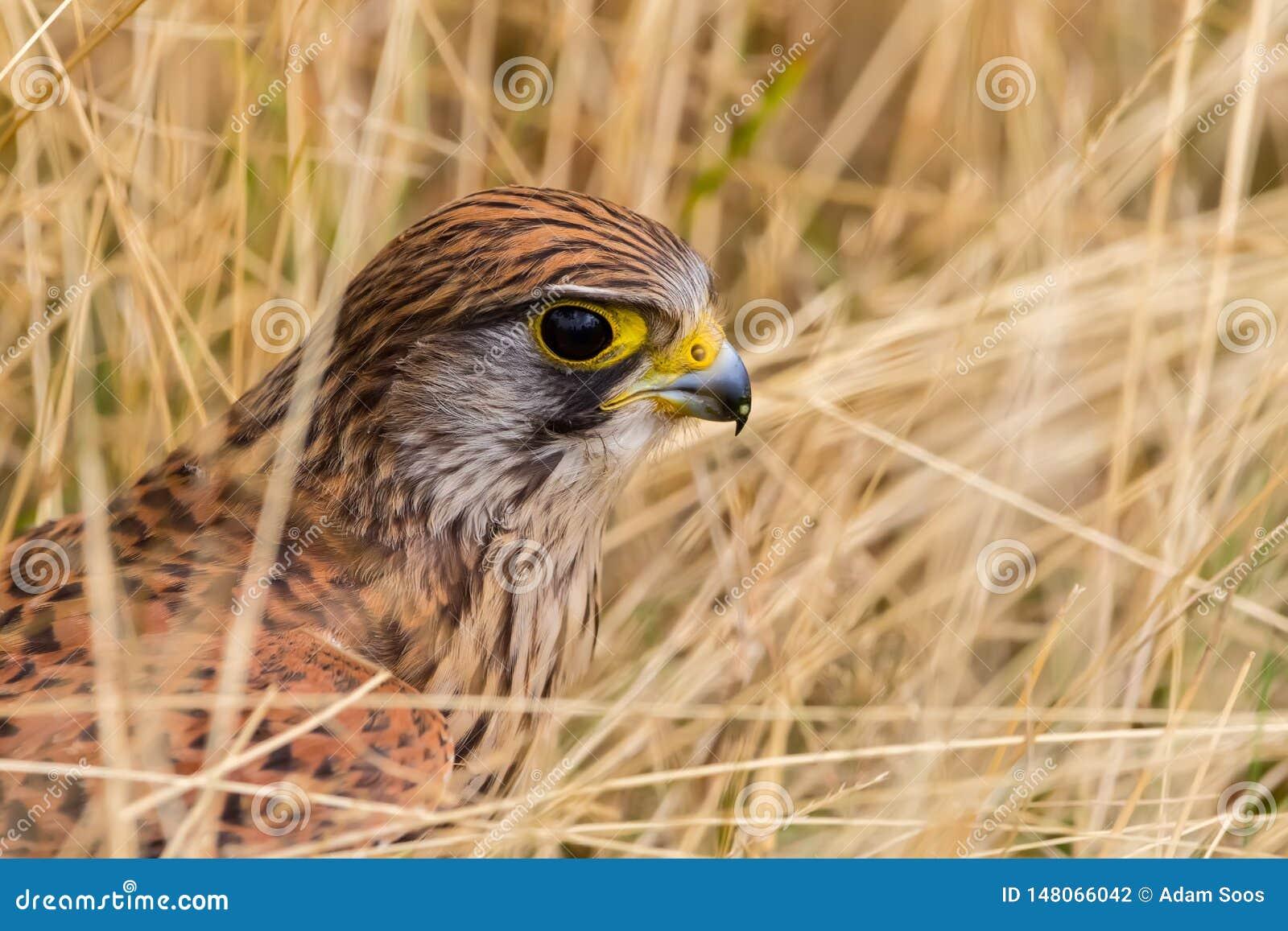 Gemeiner Kestrel, Falco tinnunculus