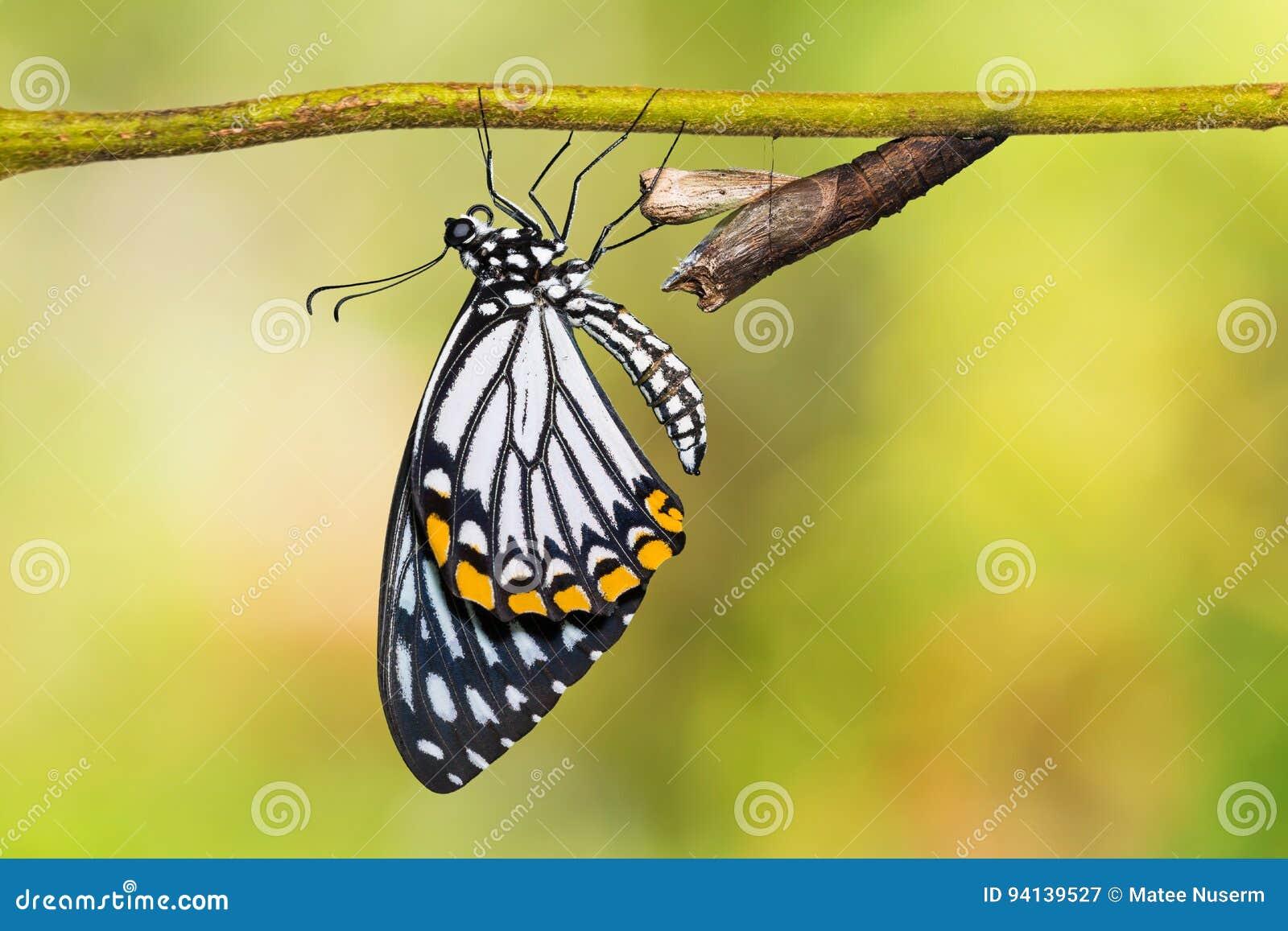 Gemeiner Pantomime-Papilio-clytia Schmetterling