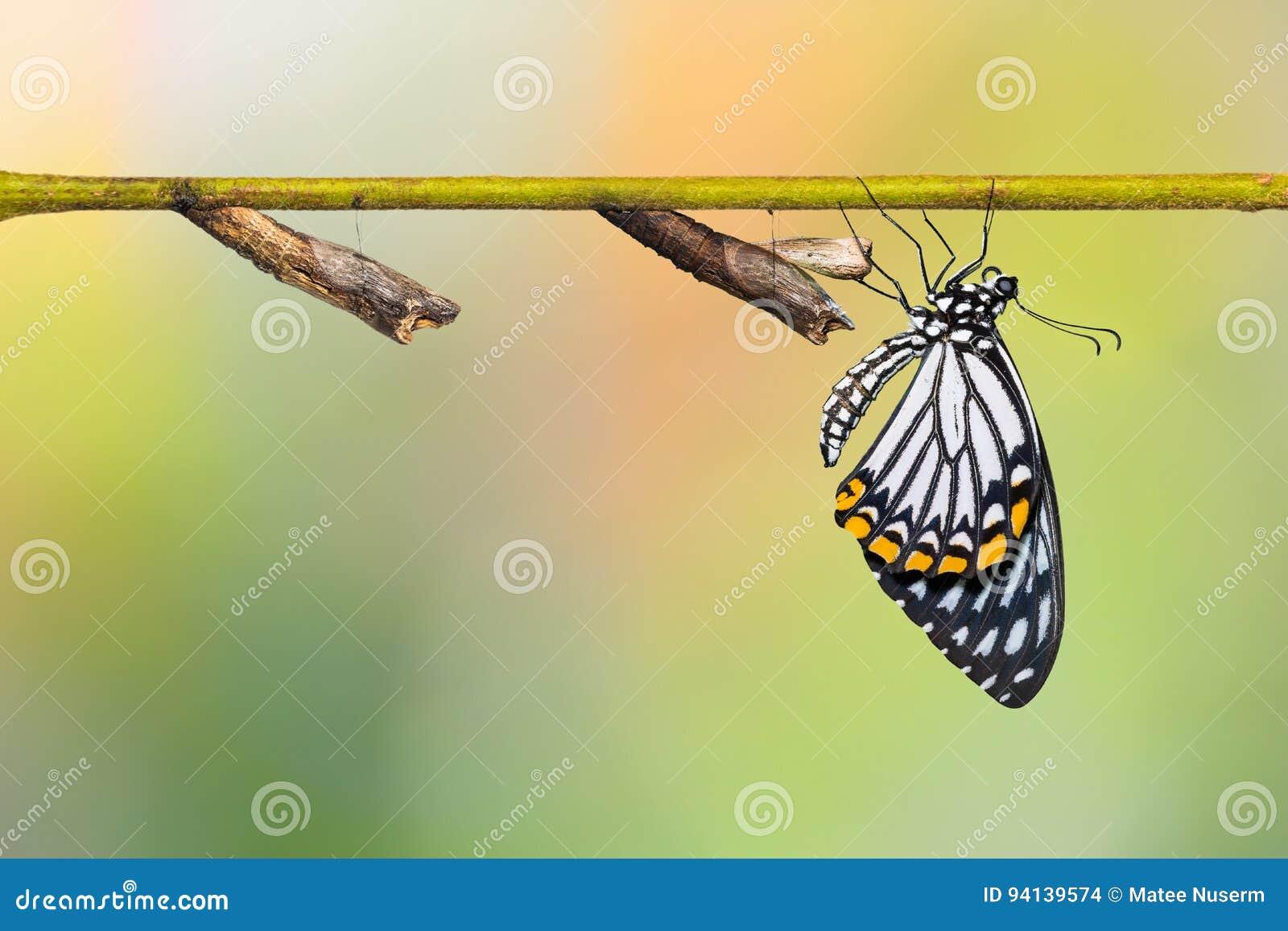 Gemeiner Pantomime-Papilio-clytia Schmetterling und Puppen