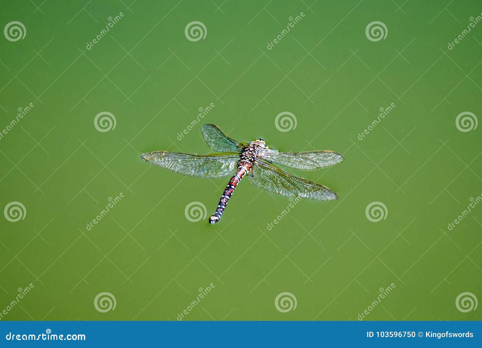 Gemeiner Straßenverkäufer der toten Libelle schwimmt in das Wasser