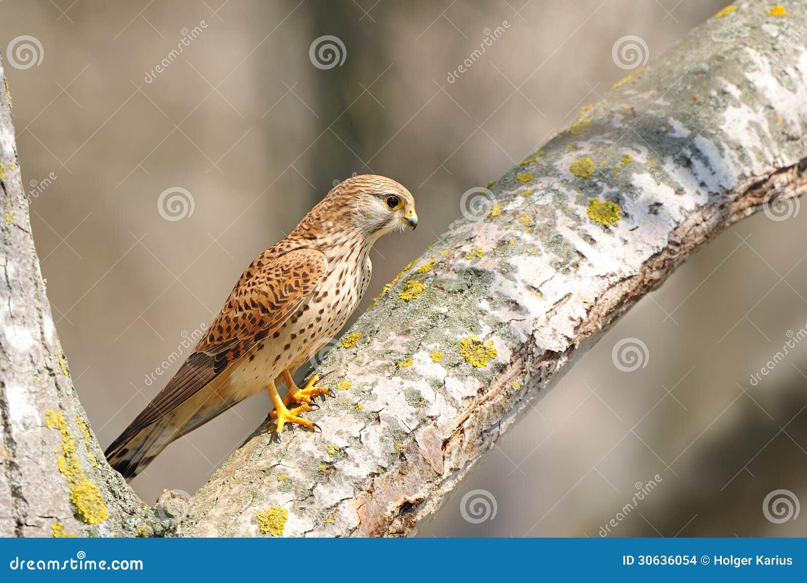 Gemeiner Turmfalke (Falco-tinnunculus)