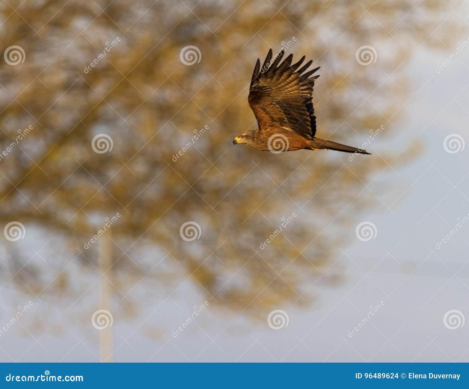 Gemeiner weiblicher Turmfalkefalke, Falco tinnunculus, fliegend