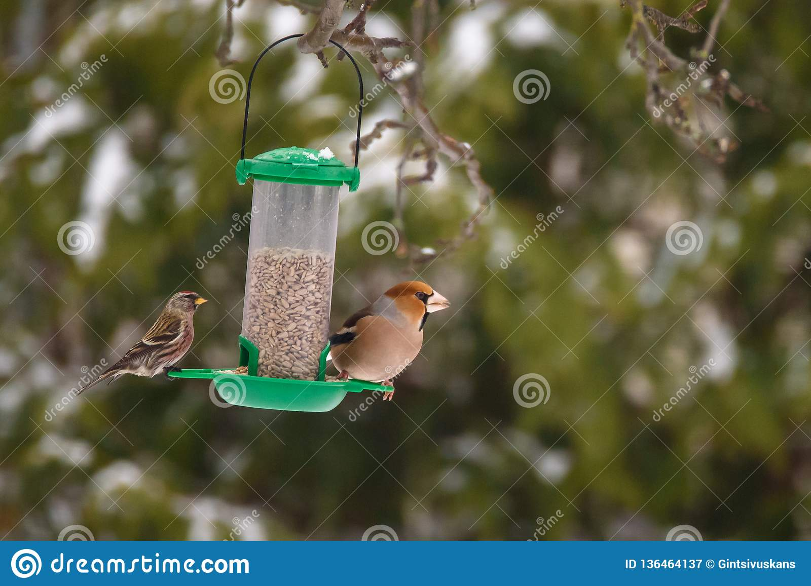 Gemeines Redpoll Acanthis-flammea und Hawfinchvogel Coccothraustes Coccothraustes