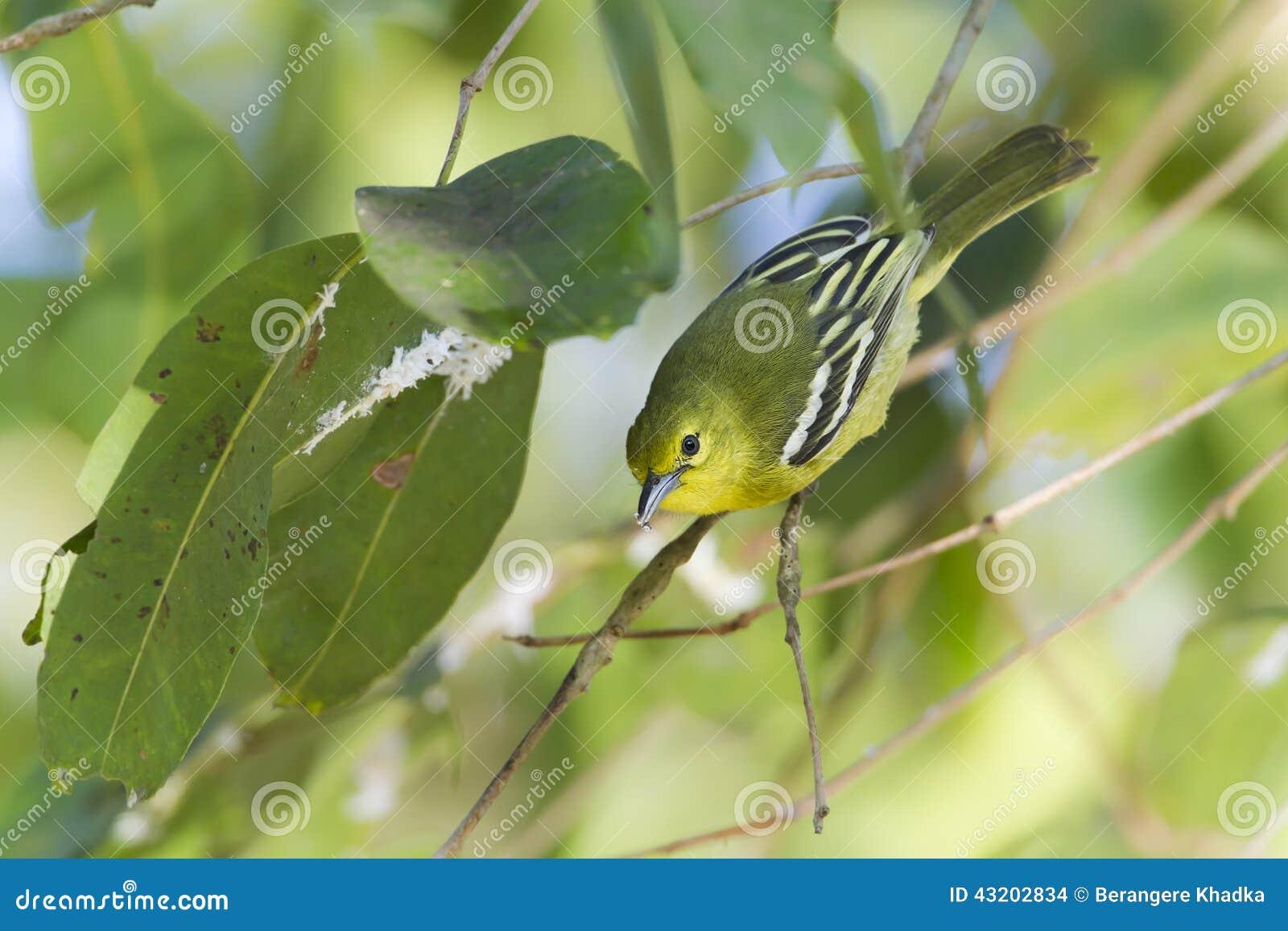 Download Gemensam iorafågel i Nepal arkivfoto. Bild av subcontinent - 43202834