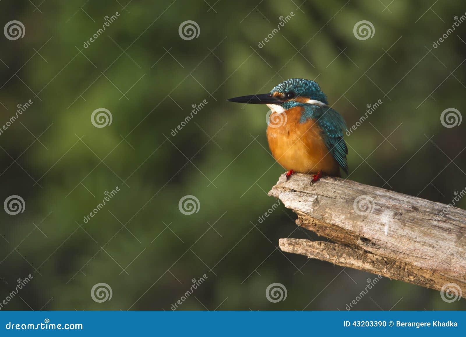 Download Gemensam Kungsfiskarefågel I Nepal Arkivfoto - Bild av park, watching: 43203390