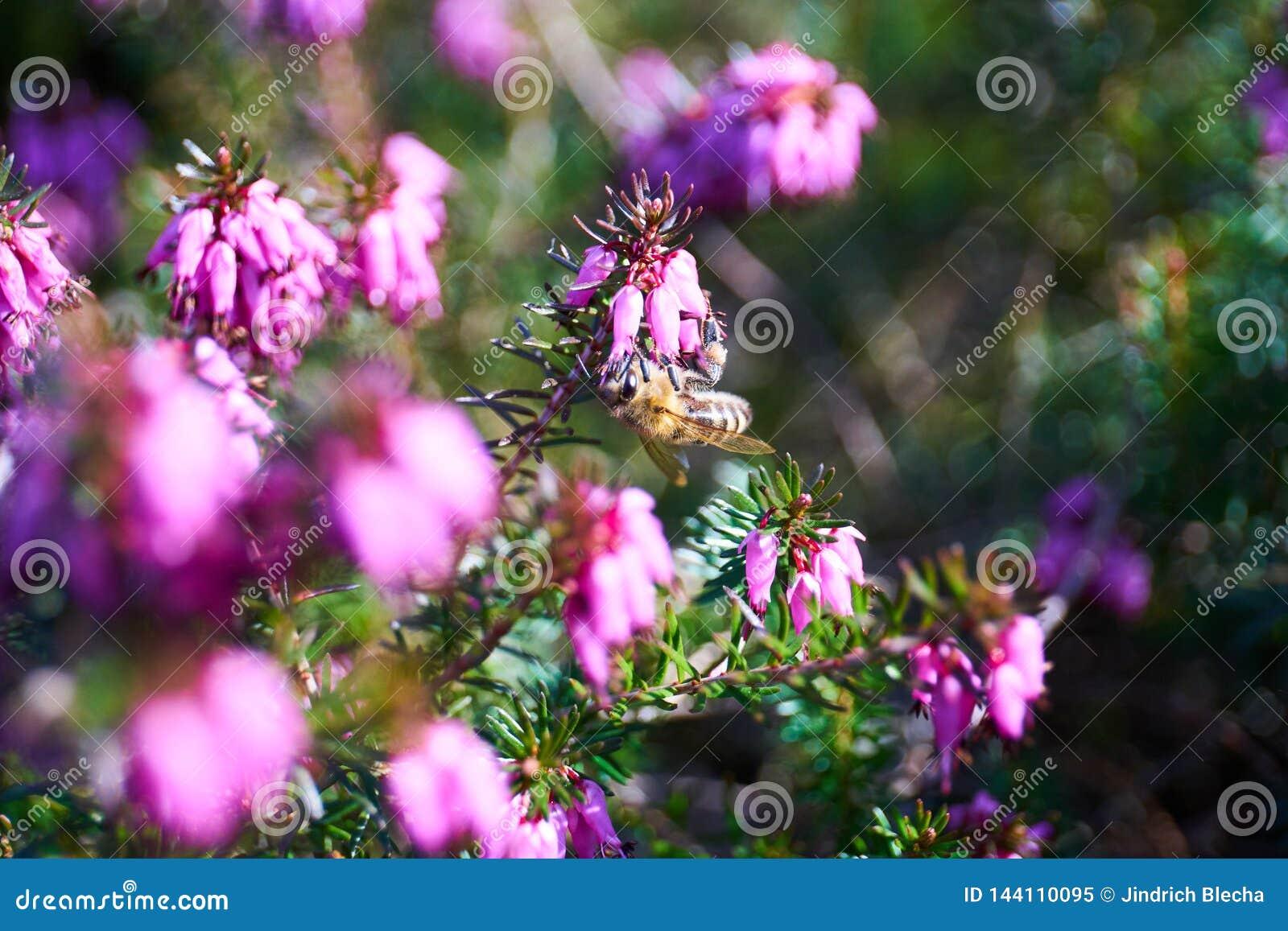 Gemensam ljung i blomning