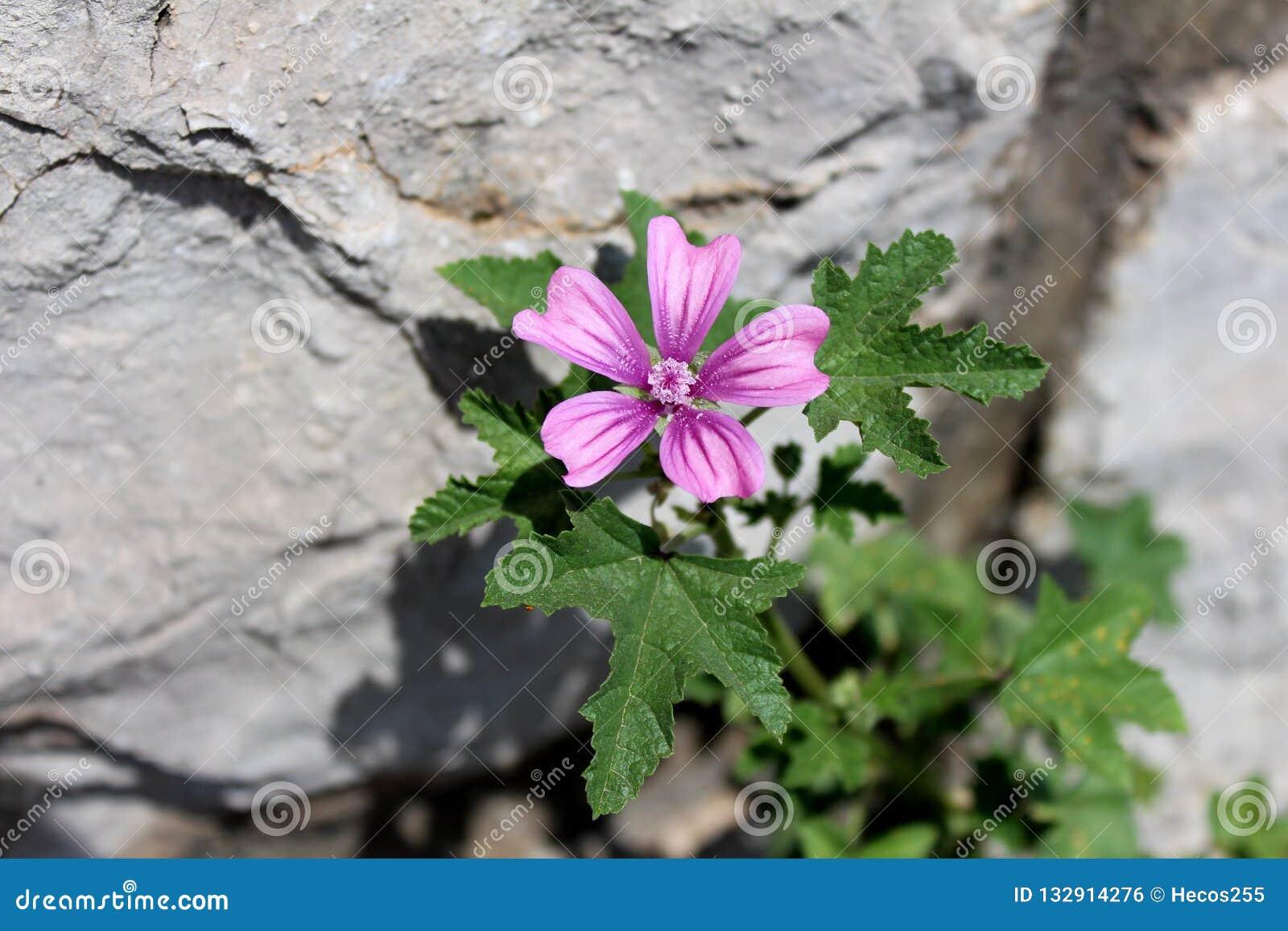 Gemensam malva eller Malvasylvestris som fördelar örtväxten med ljusa rosaaktig-lilor med mörka bandblommor på stenbakgrund