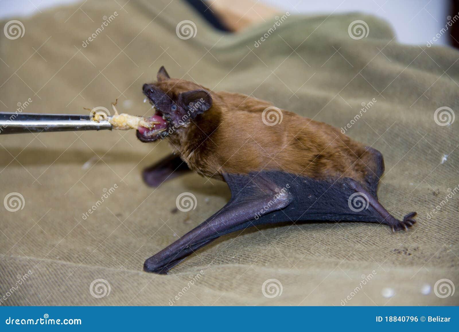 Gemensam matande noctulanoctulenyctalus