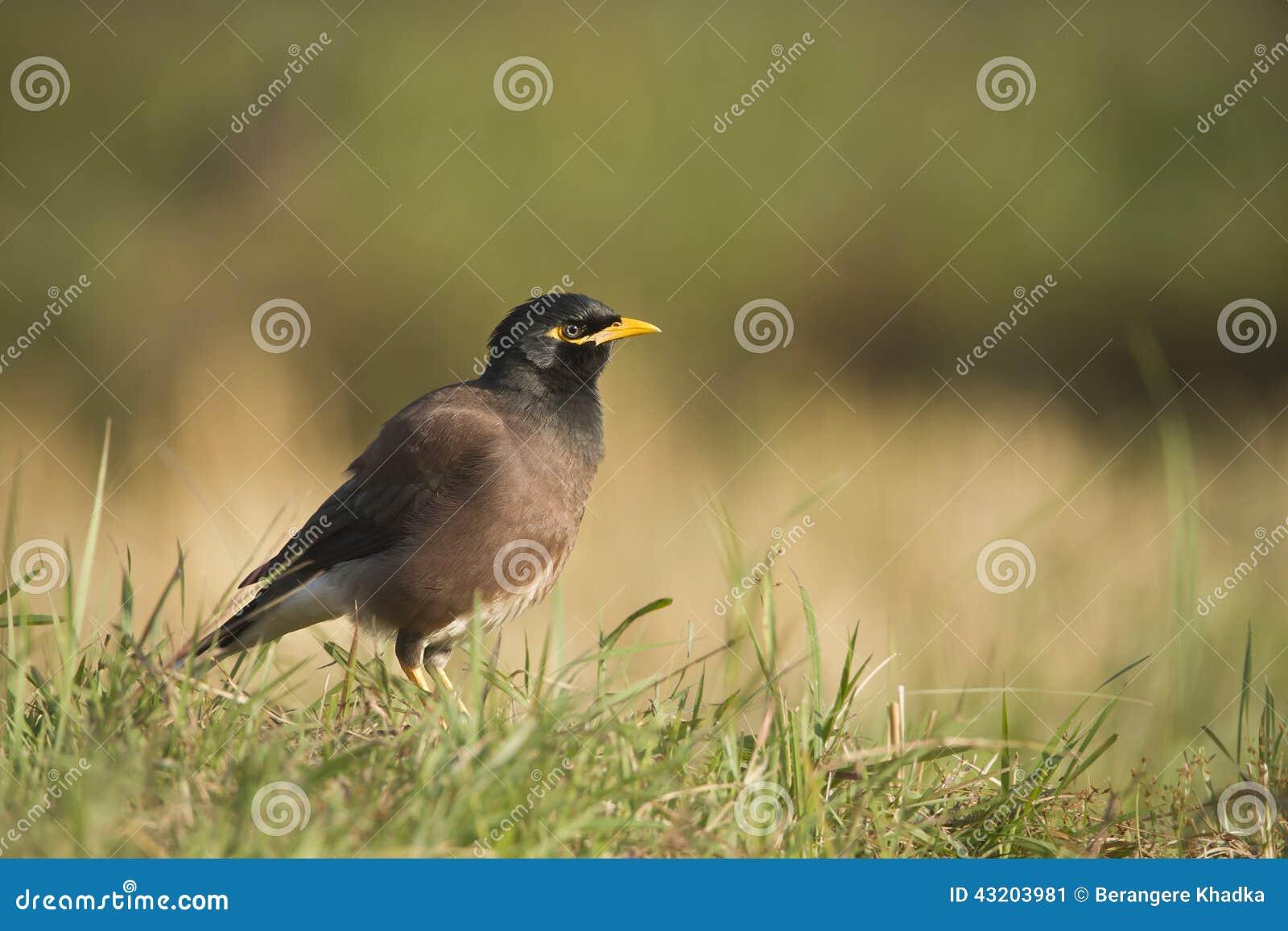 Download Gemensam Mynahfågel I Nepal Fotografering för Bildbyråer - Bild av sida, djurliv: 43203981