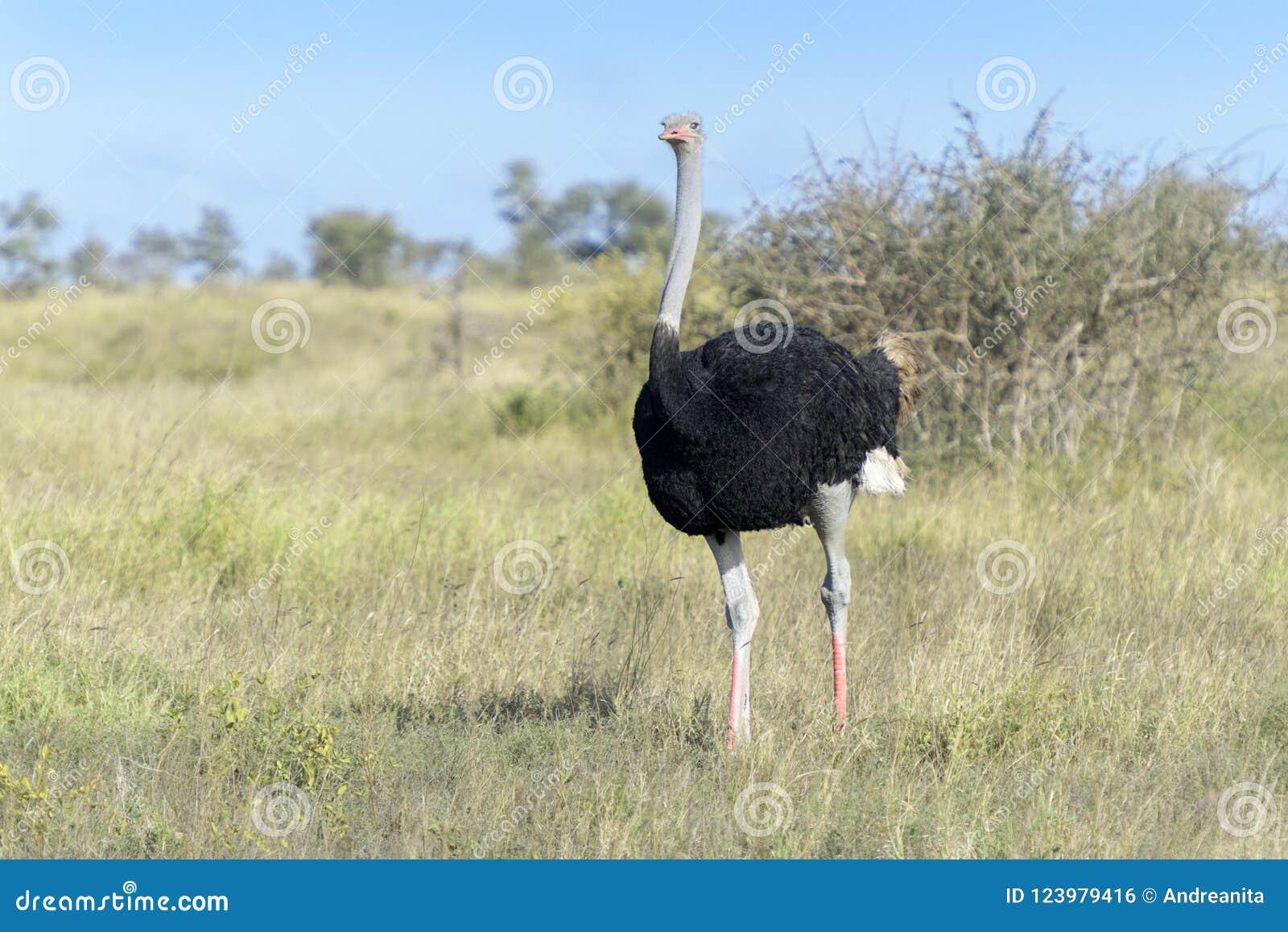Gemensam struts som går på savann