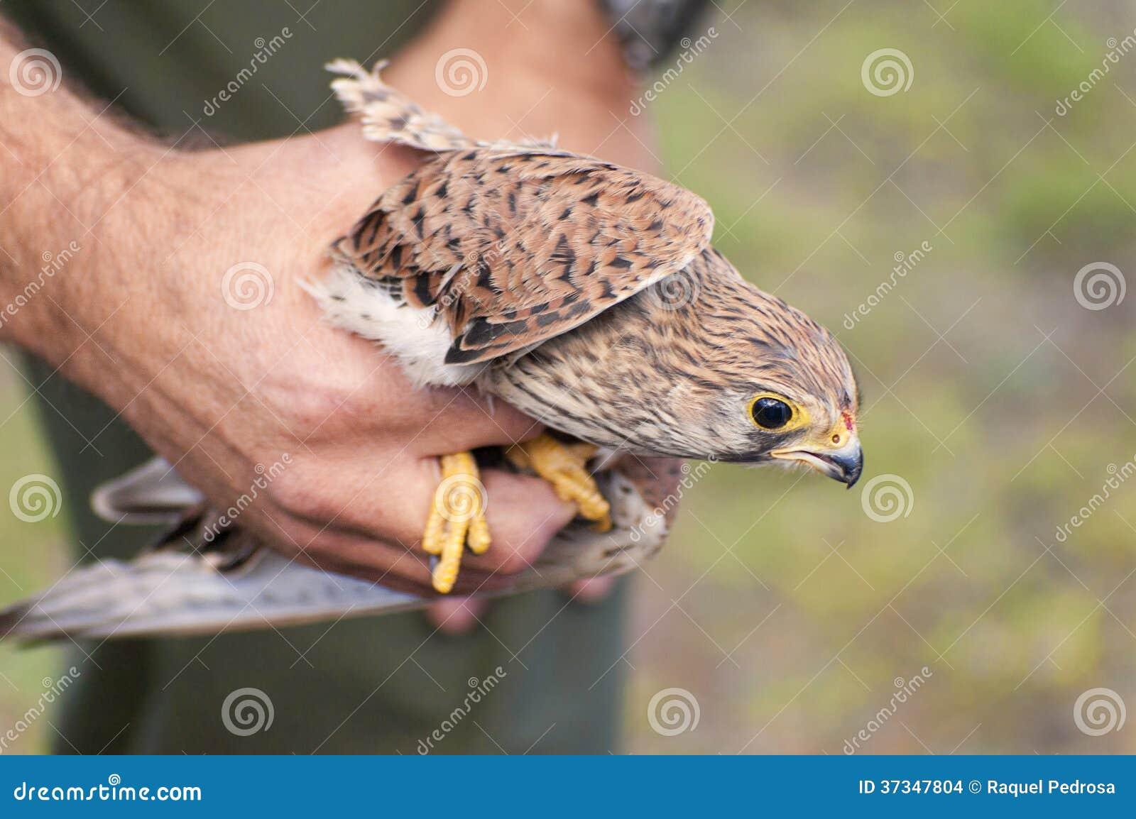 Gemensam tornfalk - Falco tinnunculus