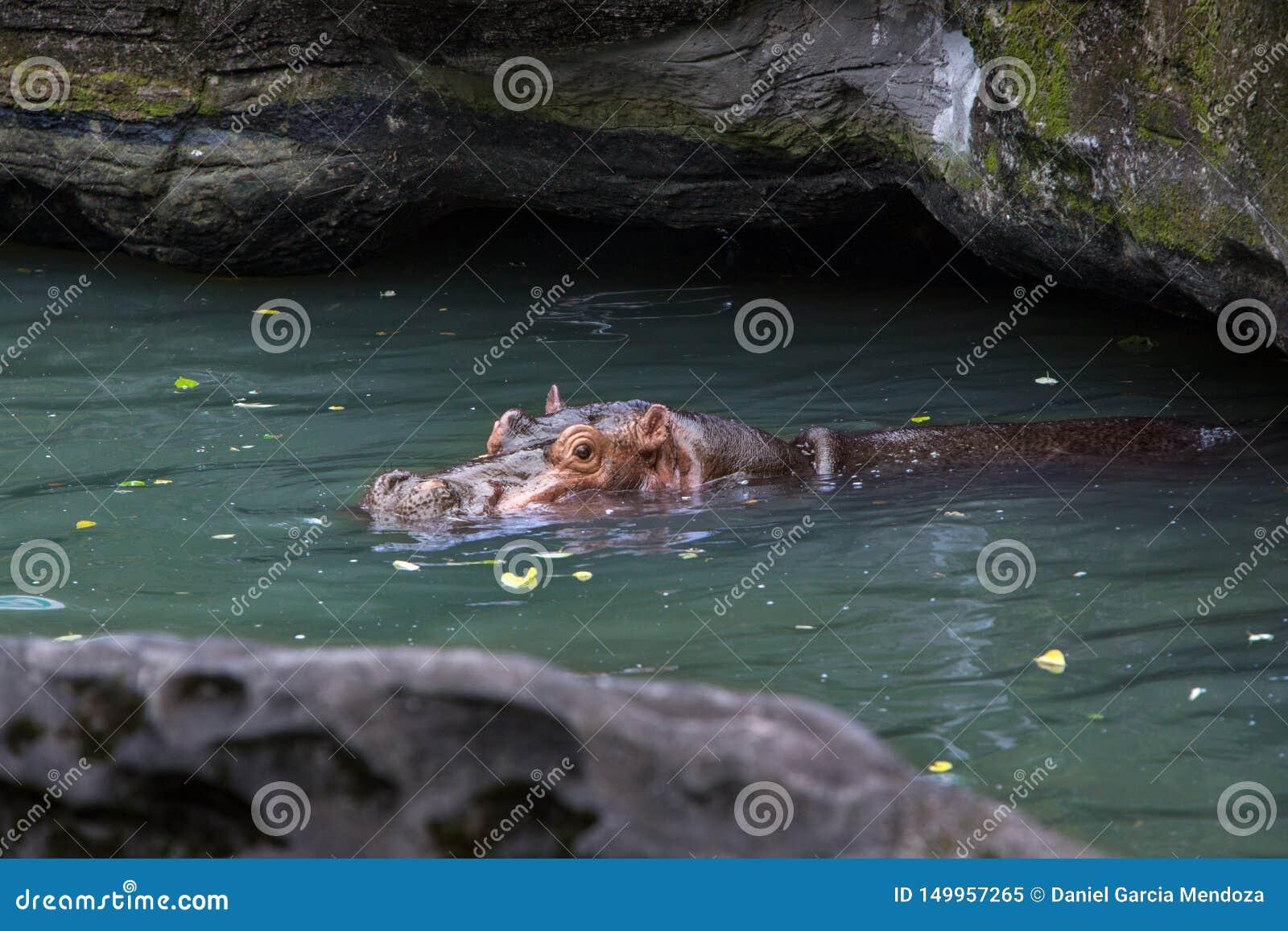Gemensamt flodhästtagandebad i sjön Flodhästen simmar i ett damm