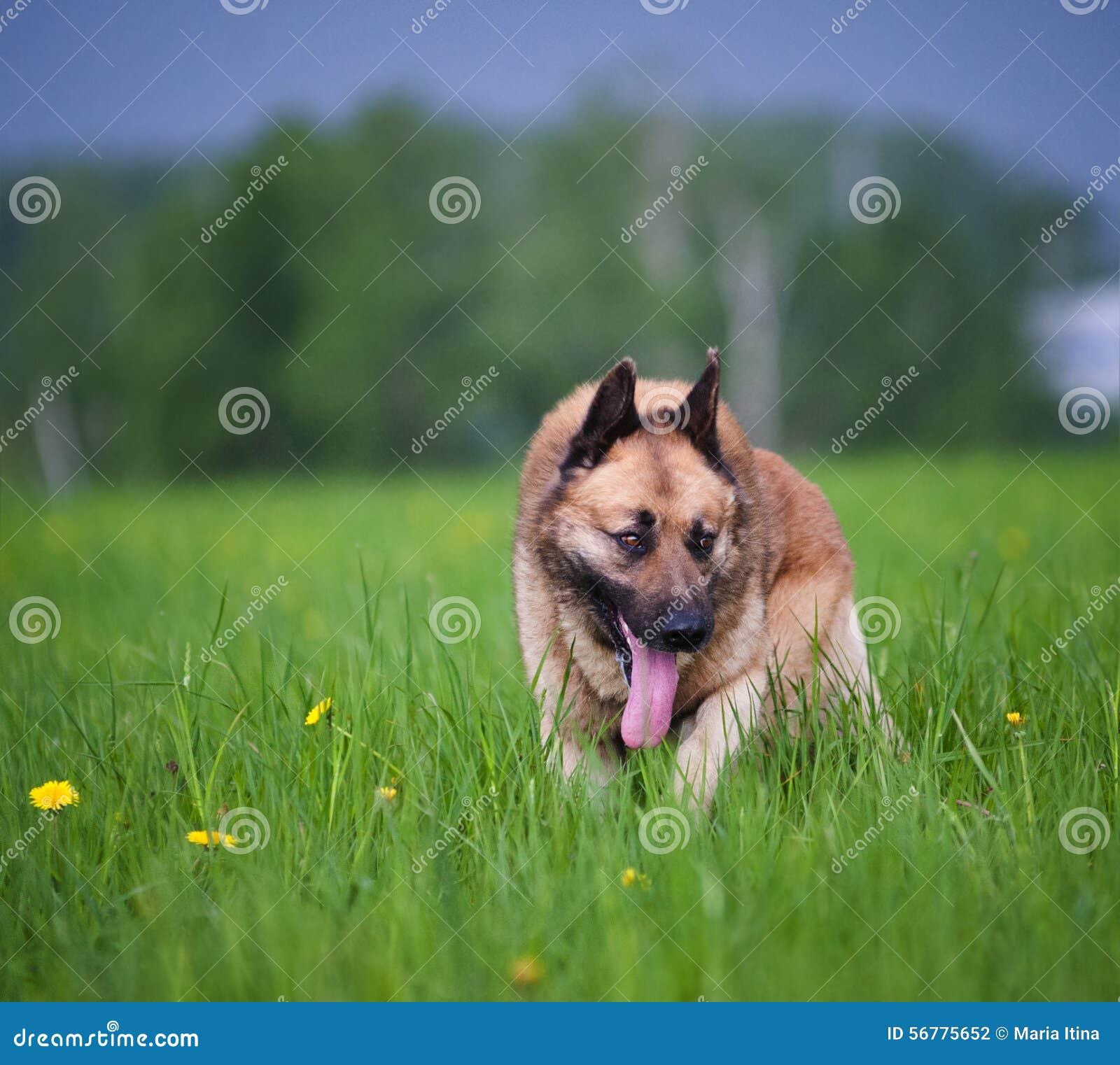 Gemischter belgischer Schäferhund
