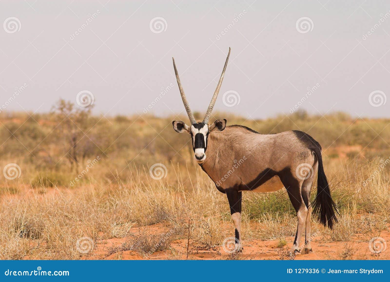 Download Gemsbok foto de archivo. Imagen de gazelle, conservación - 1279336