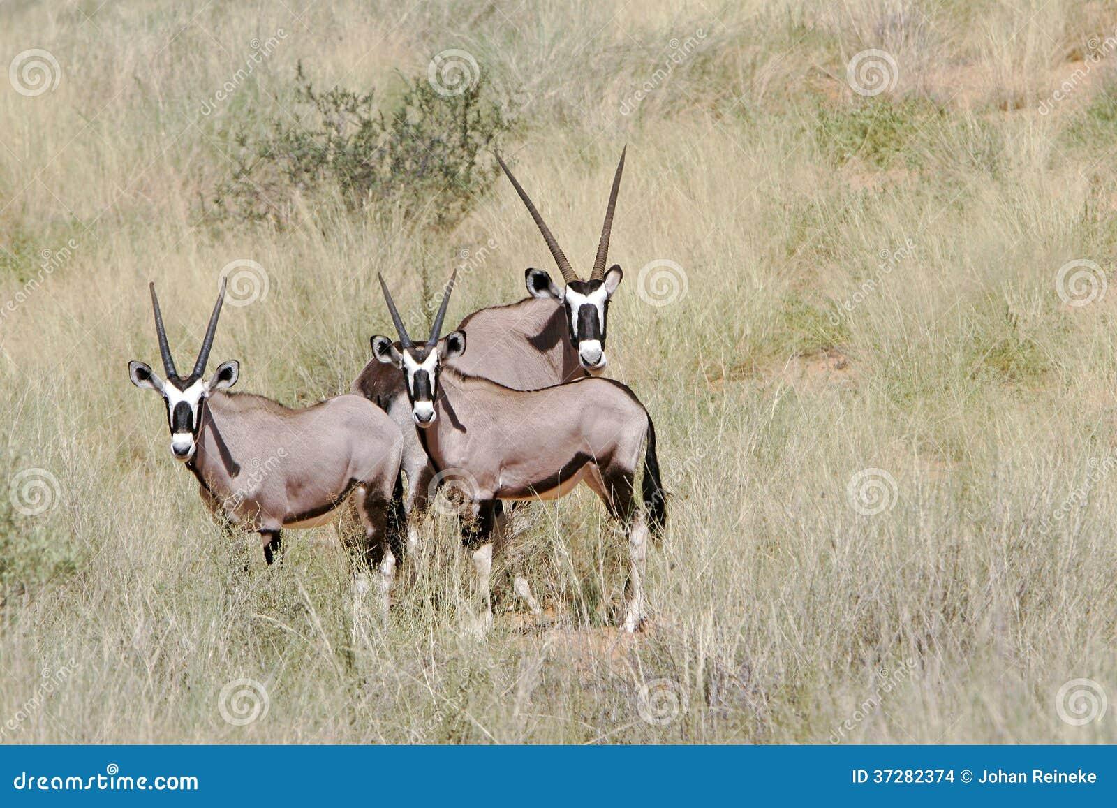Gemsbok africano salvaje