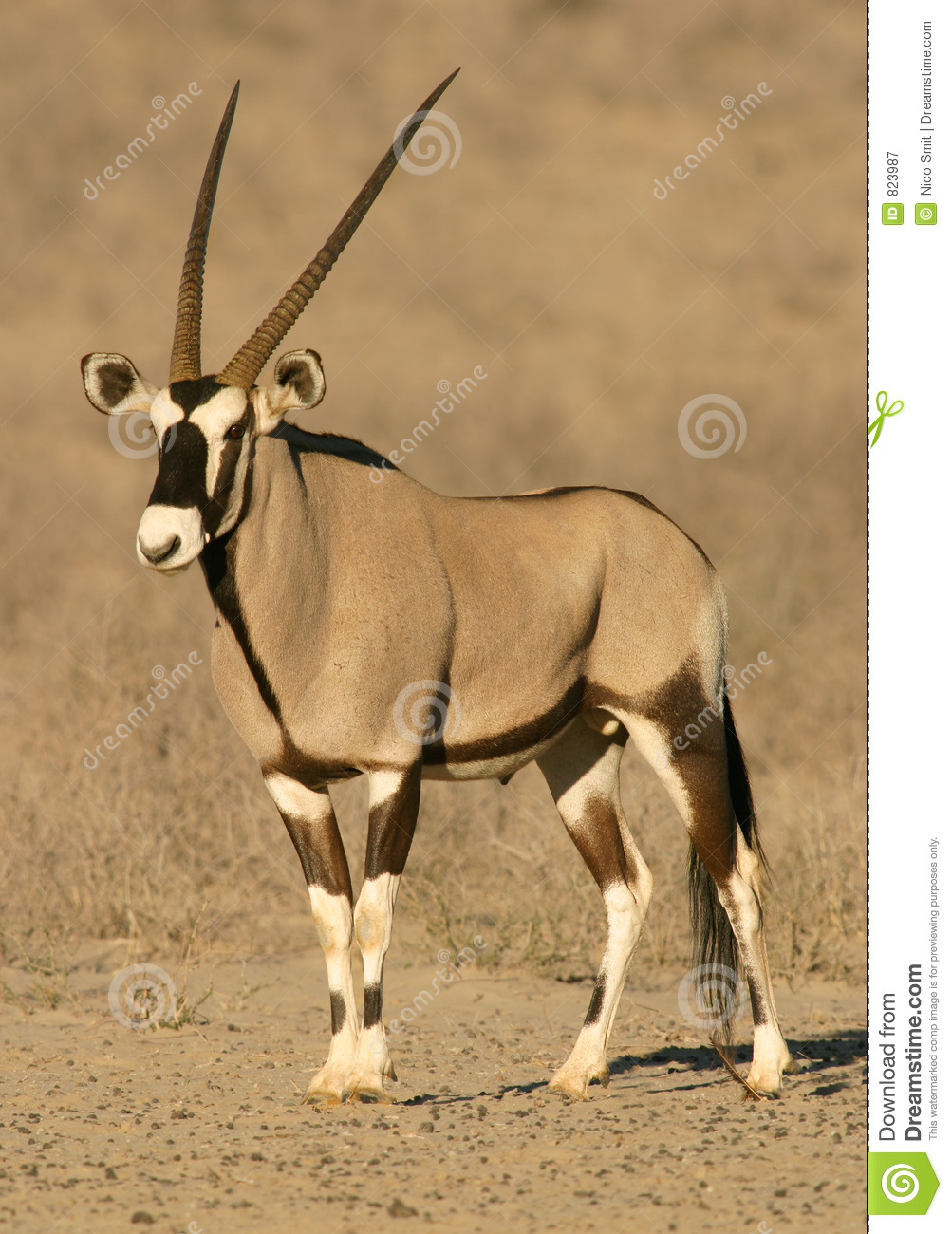 Gemsbok Antelope Royalty Free Stock Photography - Image: 823987
