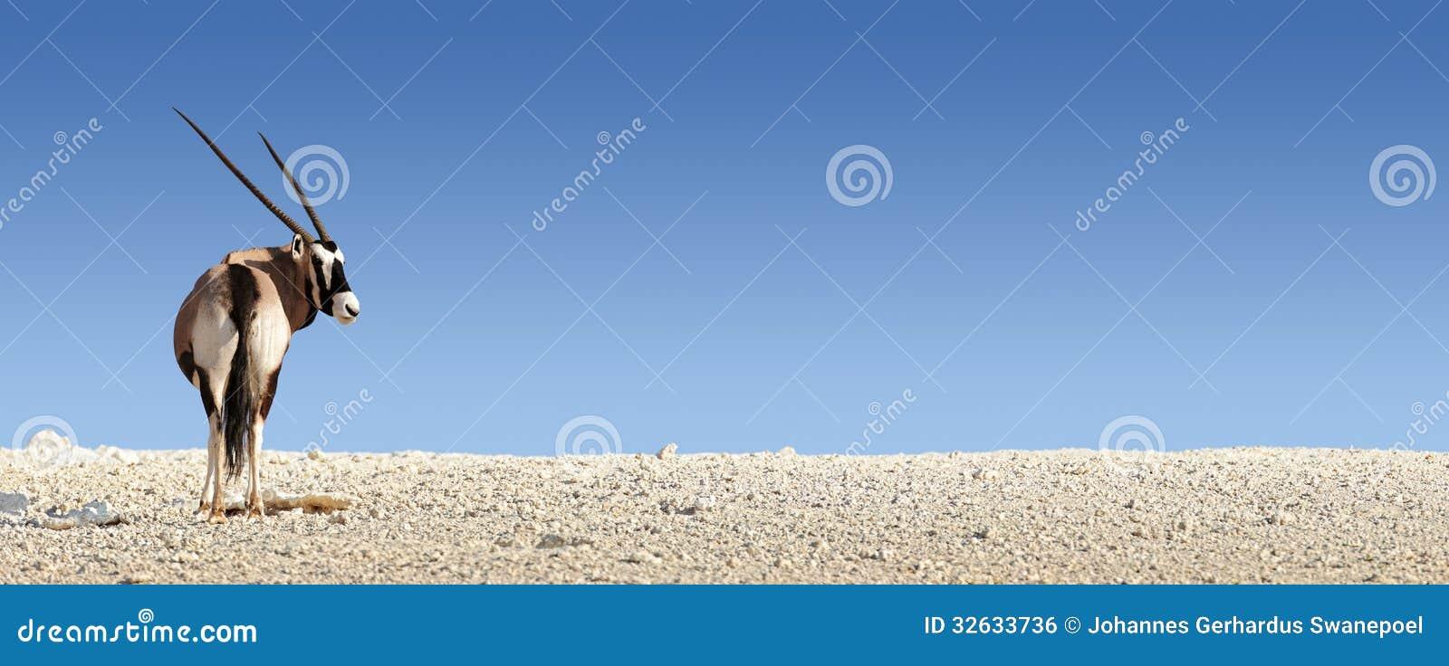 Gemsbok en el suelo rocoso blanco for Suelo 3d blanco