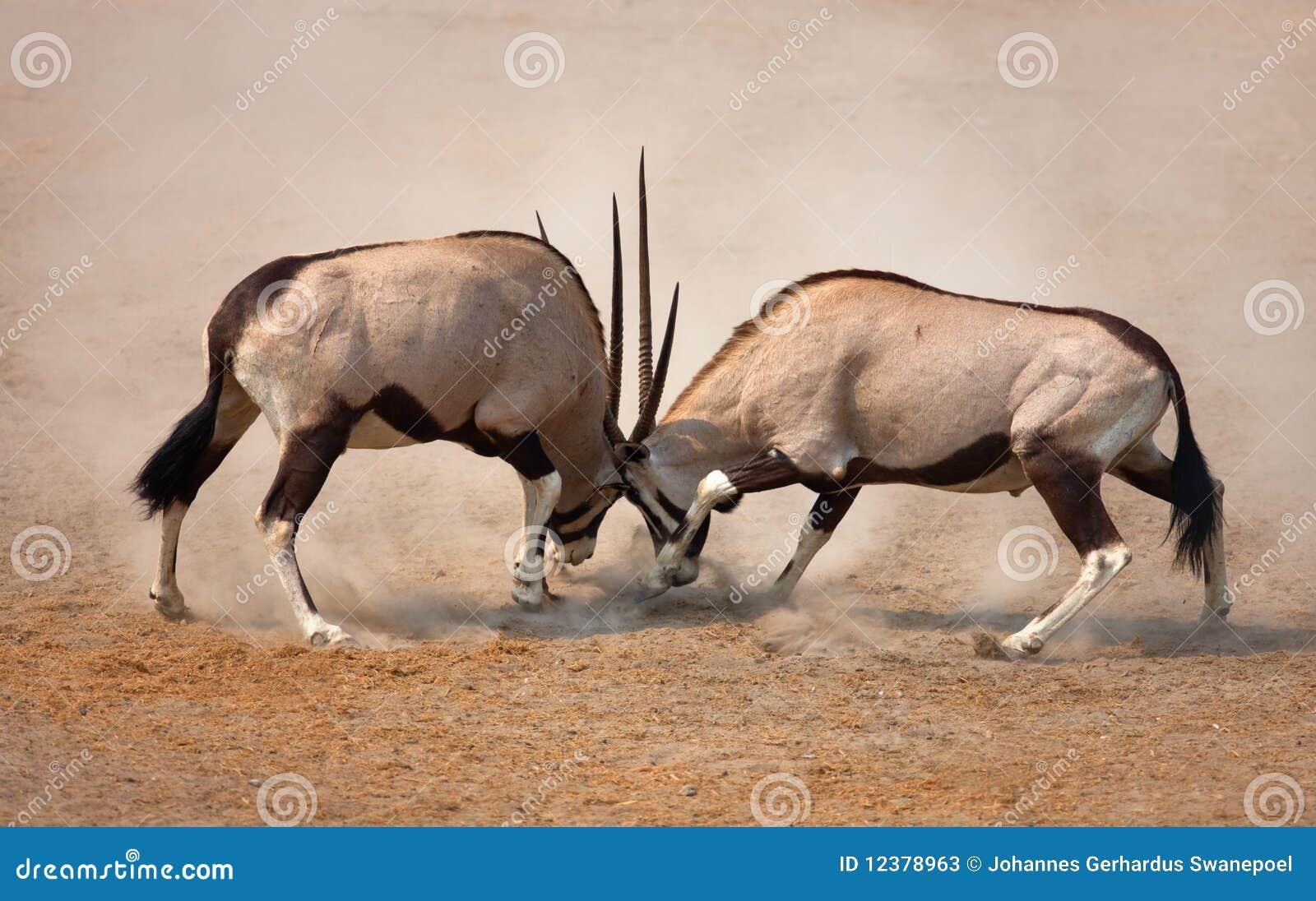 Gemsbok Fight Stock Photos - Image: 12378963