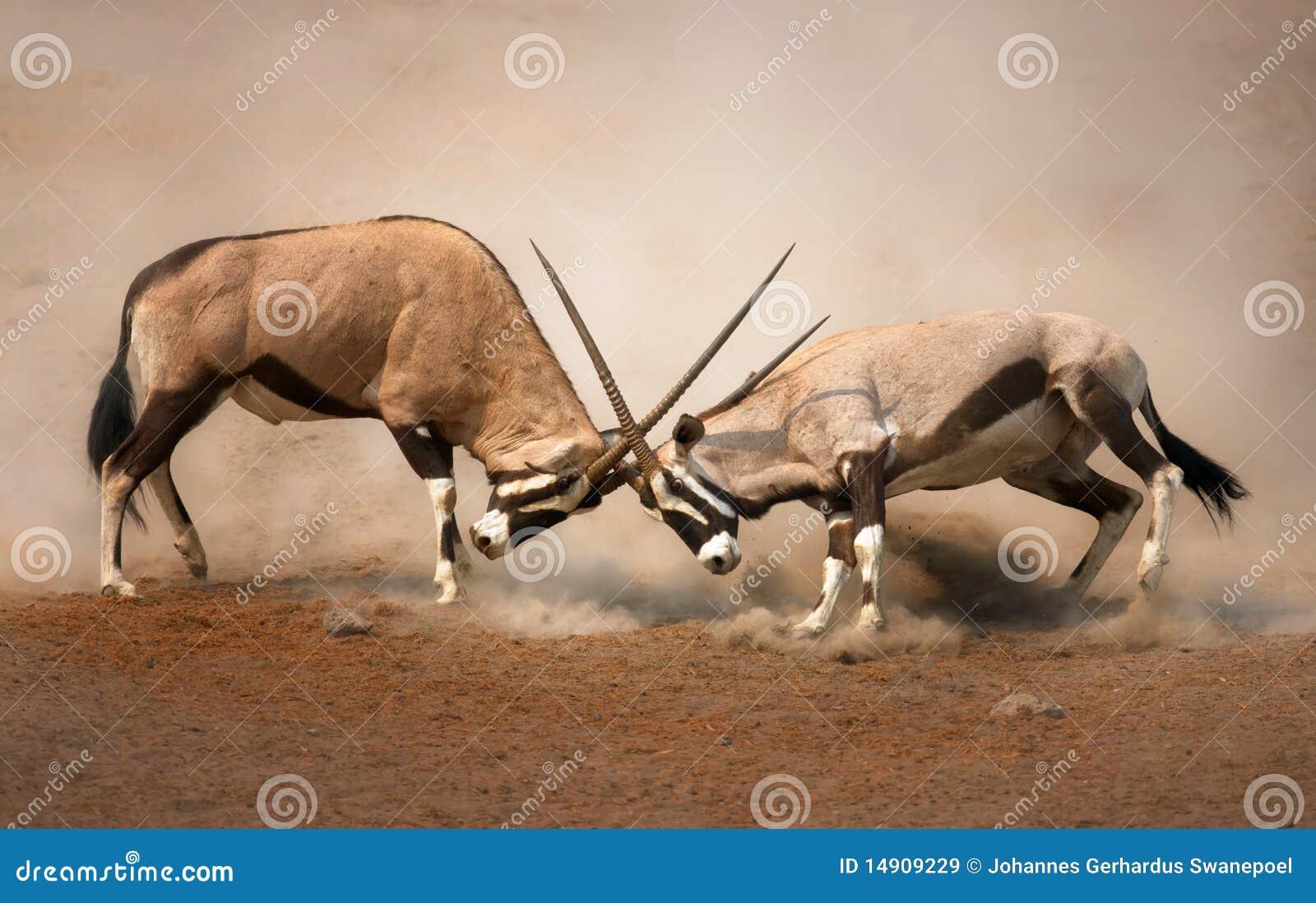 Gemsbok fight stock image. Image of dust, active ...