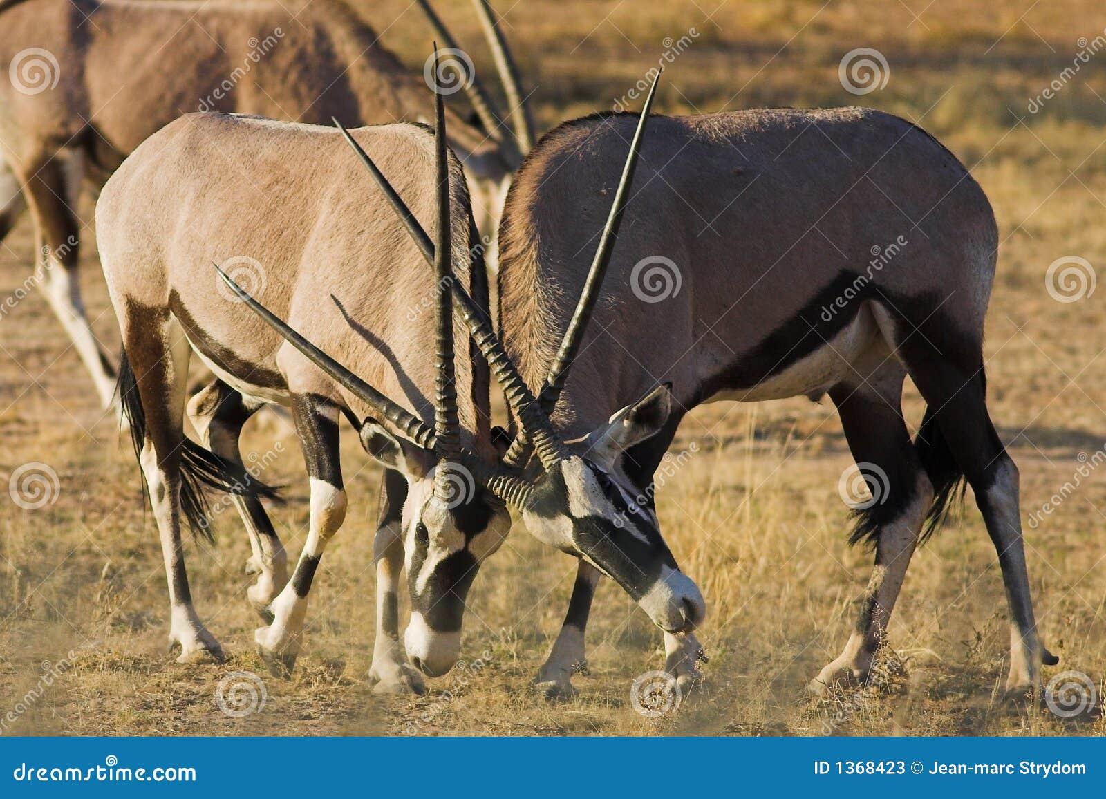 Gemsbok Fighting Stock Photos - Image: 1368423