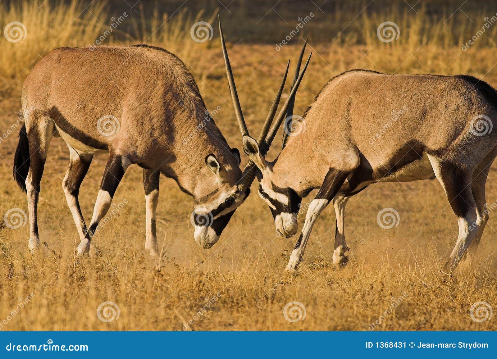 Gemsbok Fighting Stock Image - Image: 1368431
