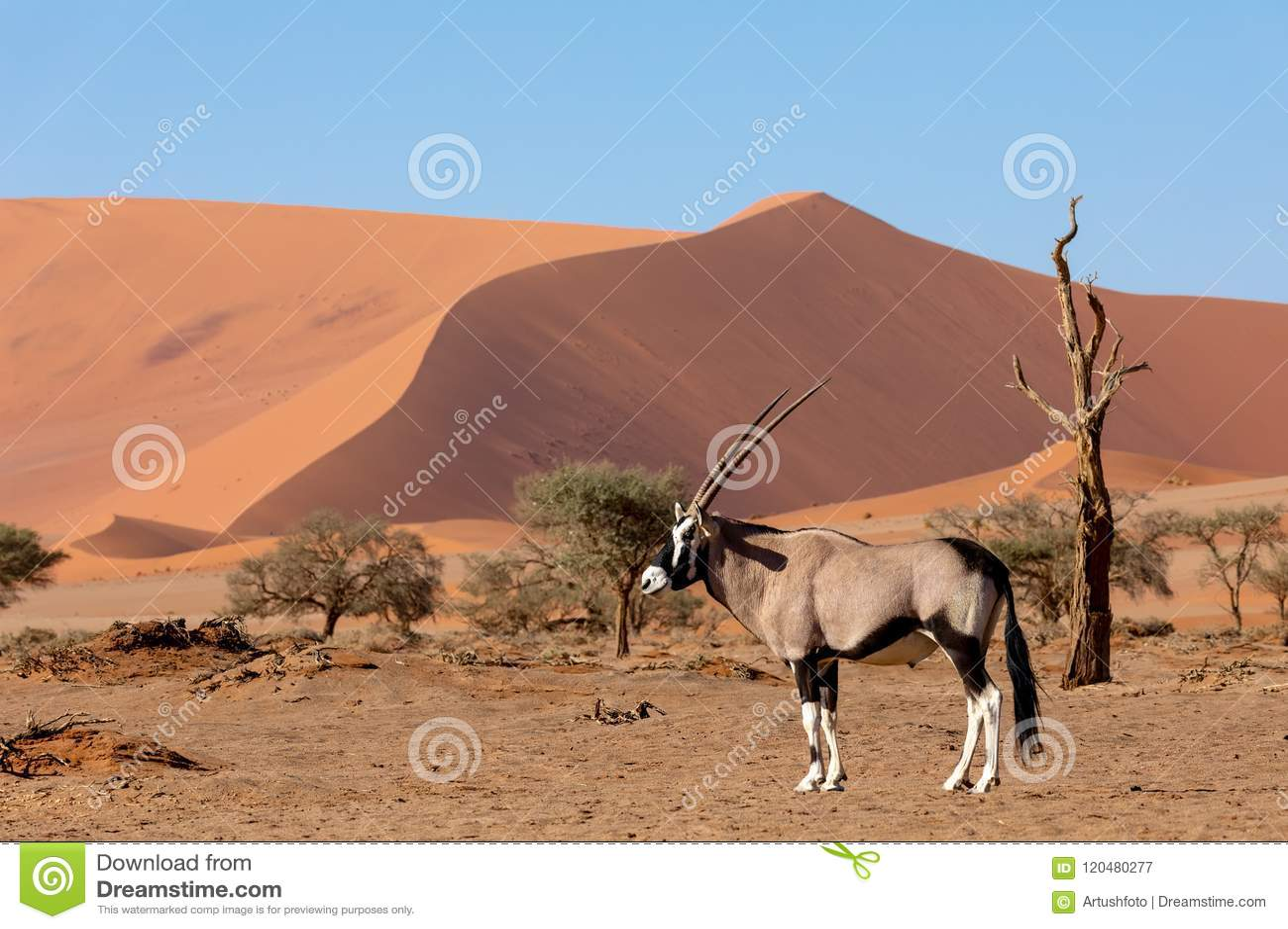 Gemsbok, gazella del Oryx en la duna, fauna de Namibia