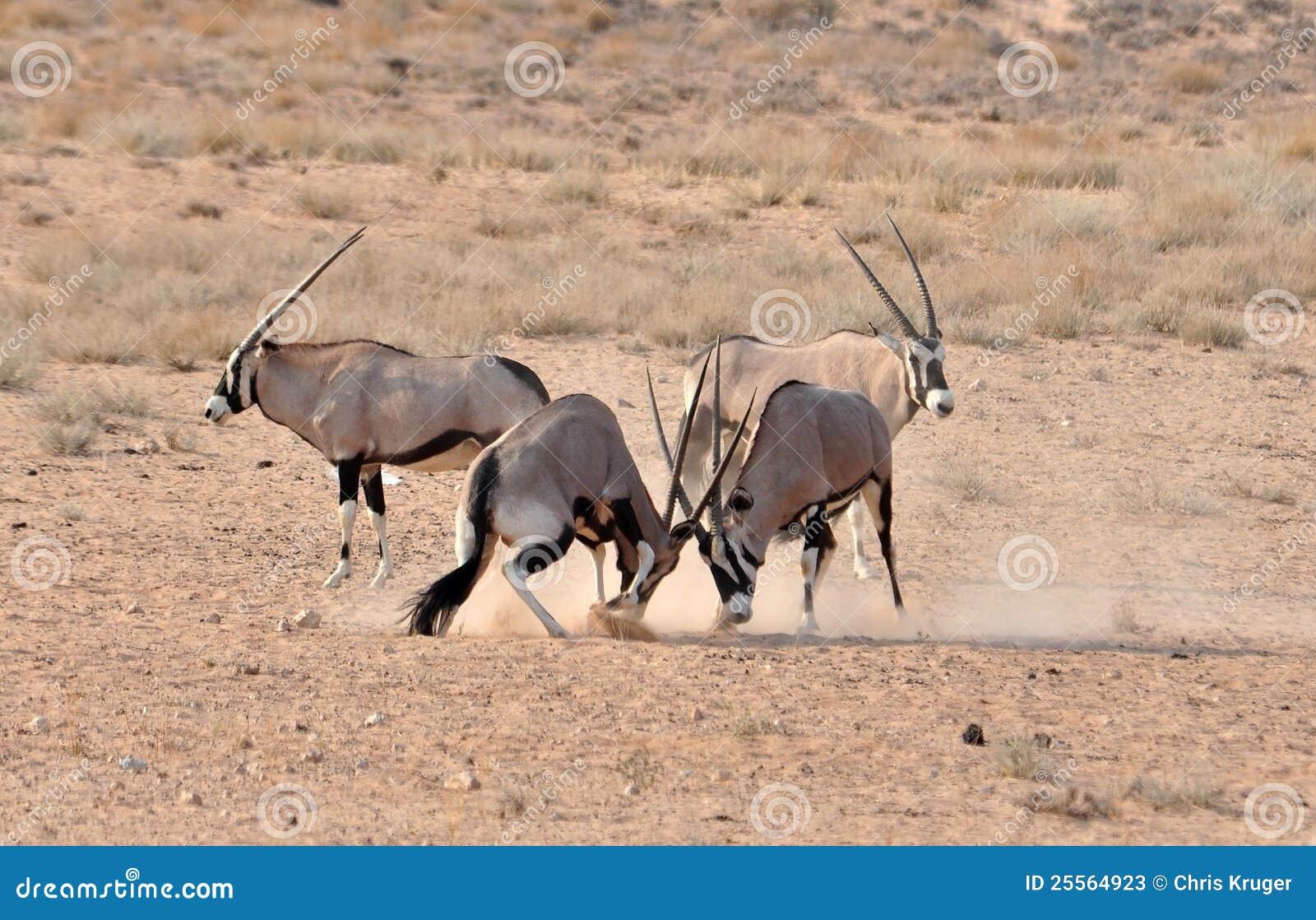 Gemsbok (Oryx) Antelope Fight Stock Image - Image: 25564923