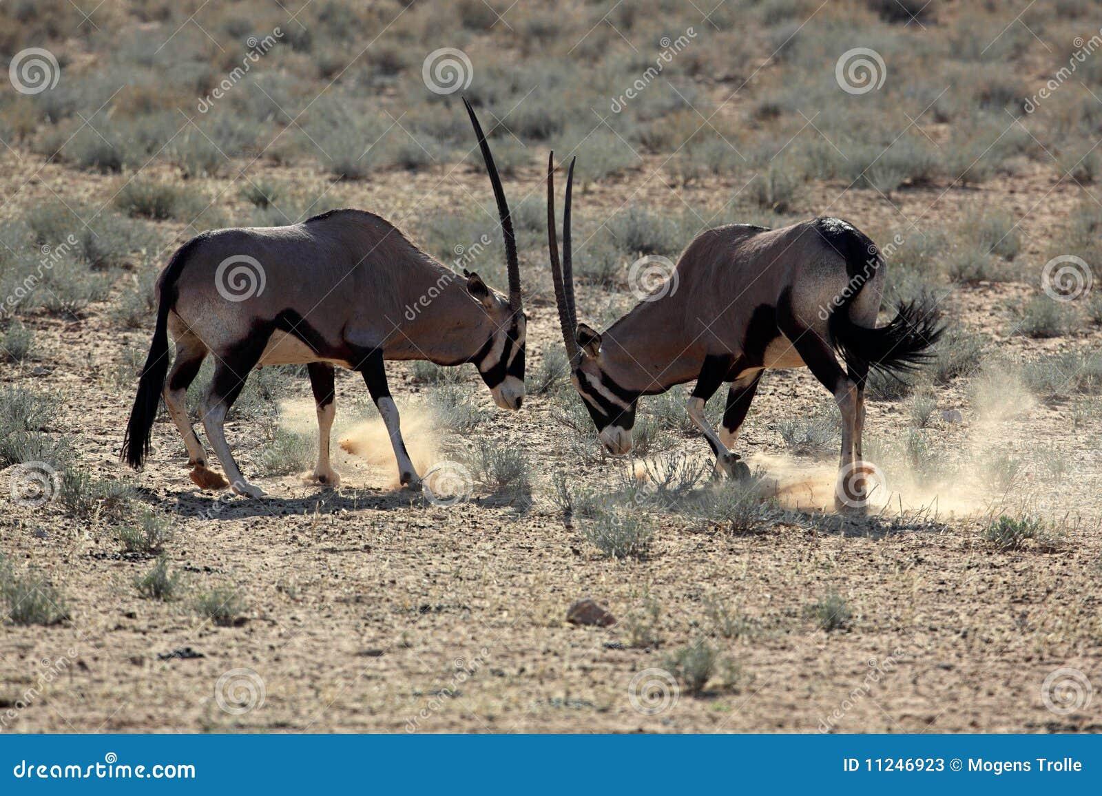 Gemsbok Oryxes Fighting, Kalahari Desert Stock Photos ...