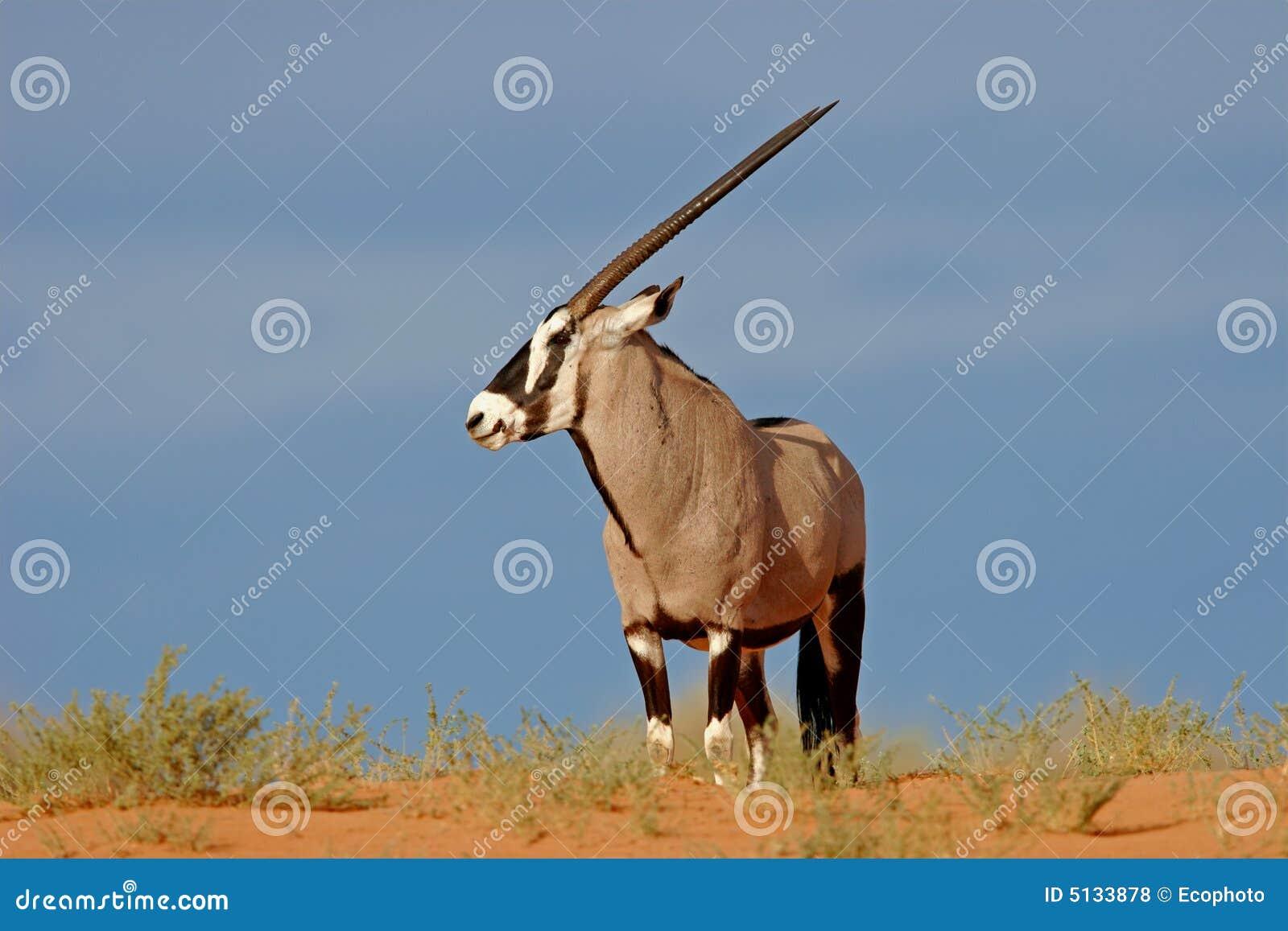 Gemsbokantilope
